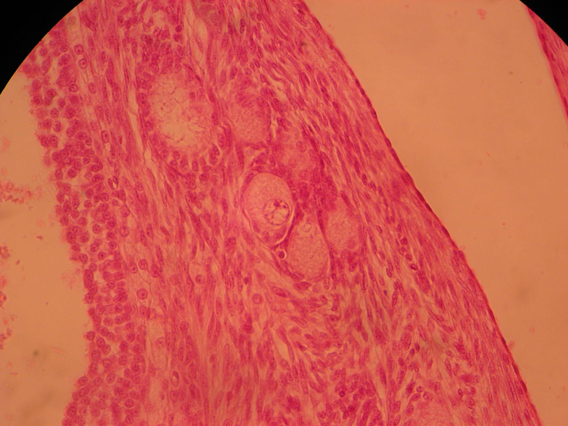 Veterinary Medicine: Ovary of a Cat (9)- Primordial Follicle