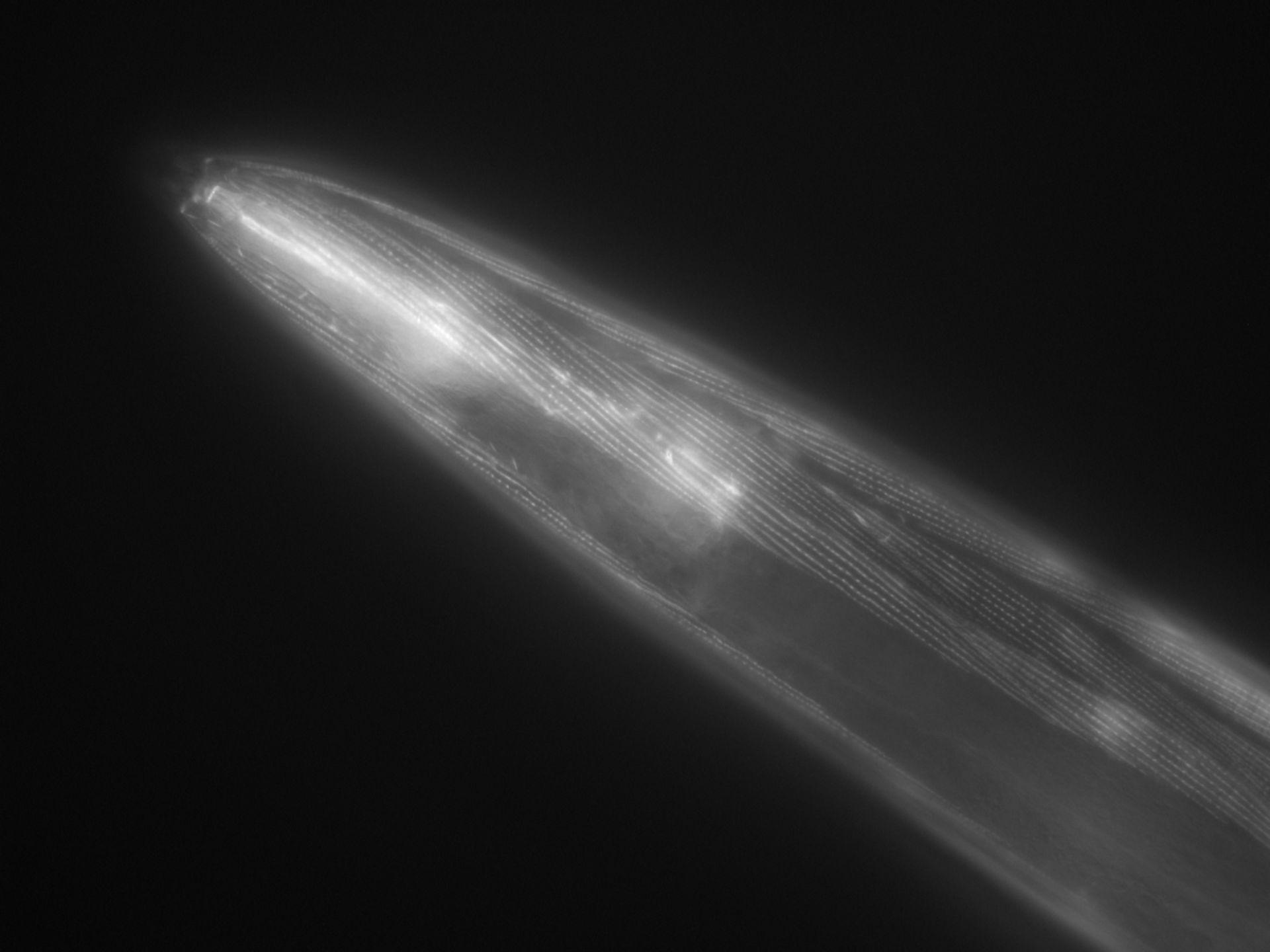 Caenorhabditis elegans (filamento di actina) - CIL:1048