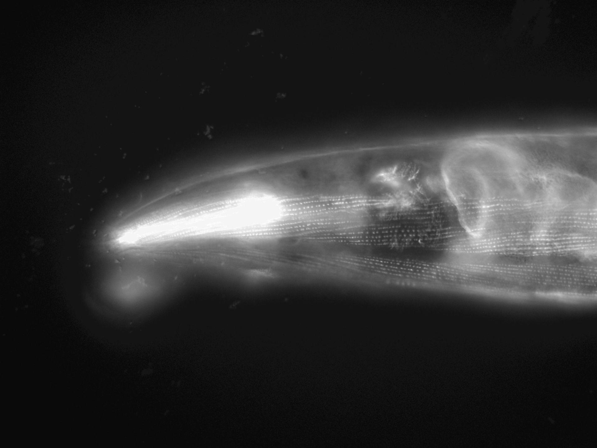 Caenorhabditis elegans (Actin filament) - CIL:1179