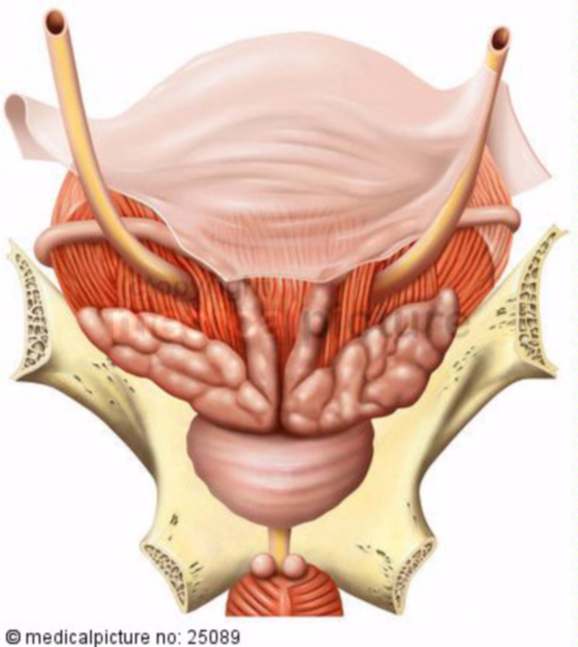 Posterior View of Male Pelvic Organs