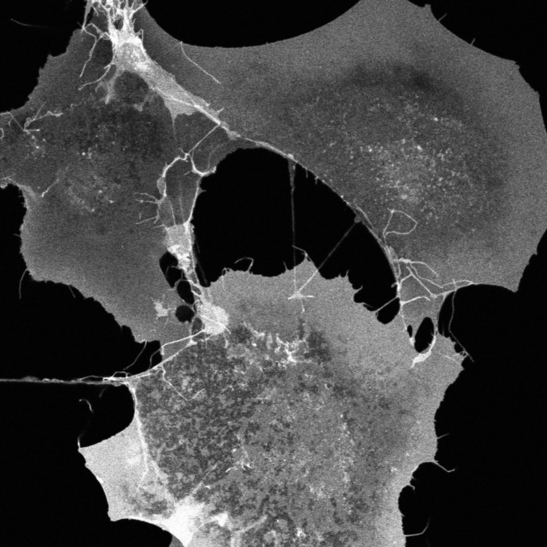 Chlorocebus sabaeus (membrana plasmatica) - CIL:729