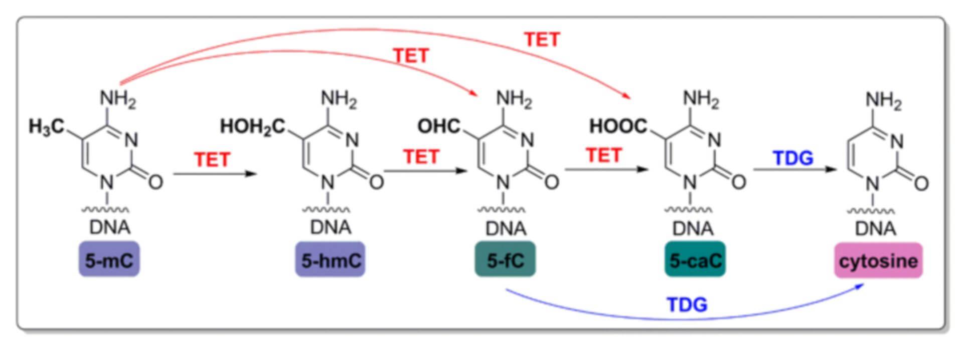 DNA Demethylase Inhibitor Screening