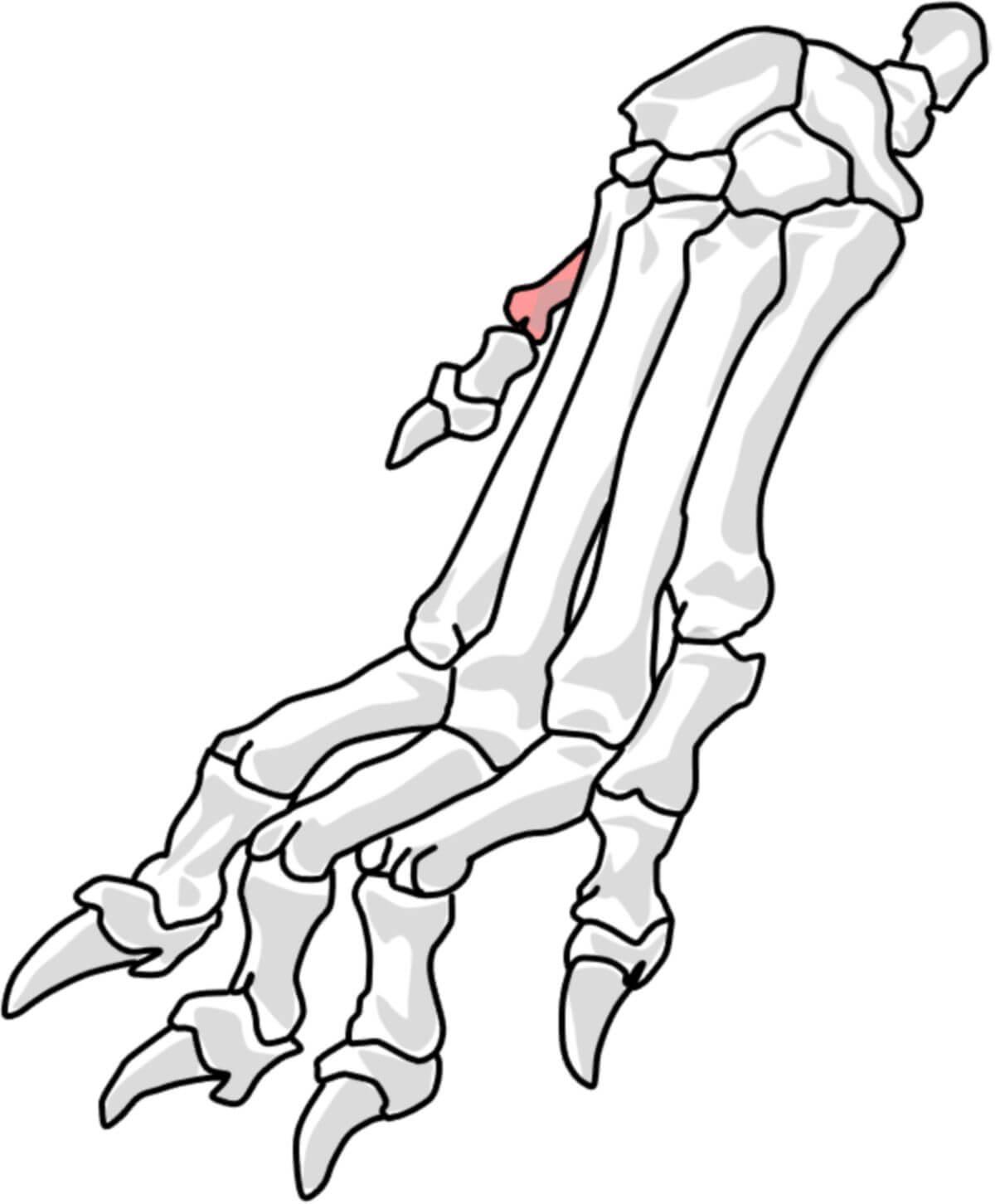1. Metakarpalknochen beim Hund (© Patrick Messner)