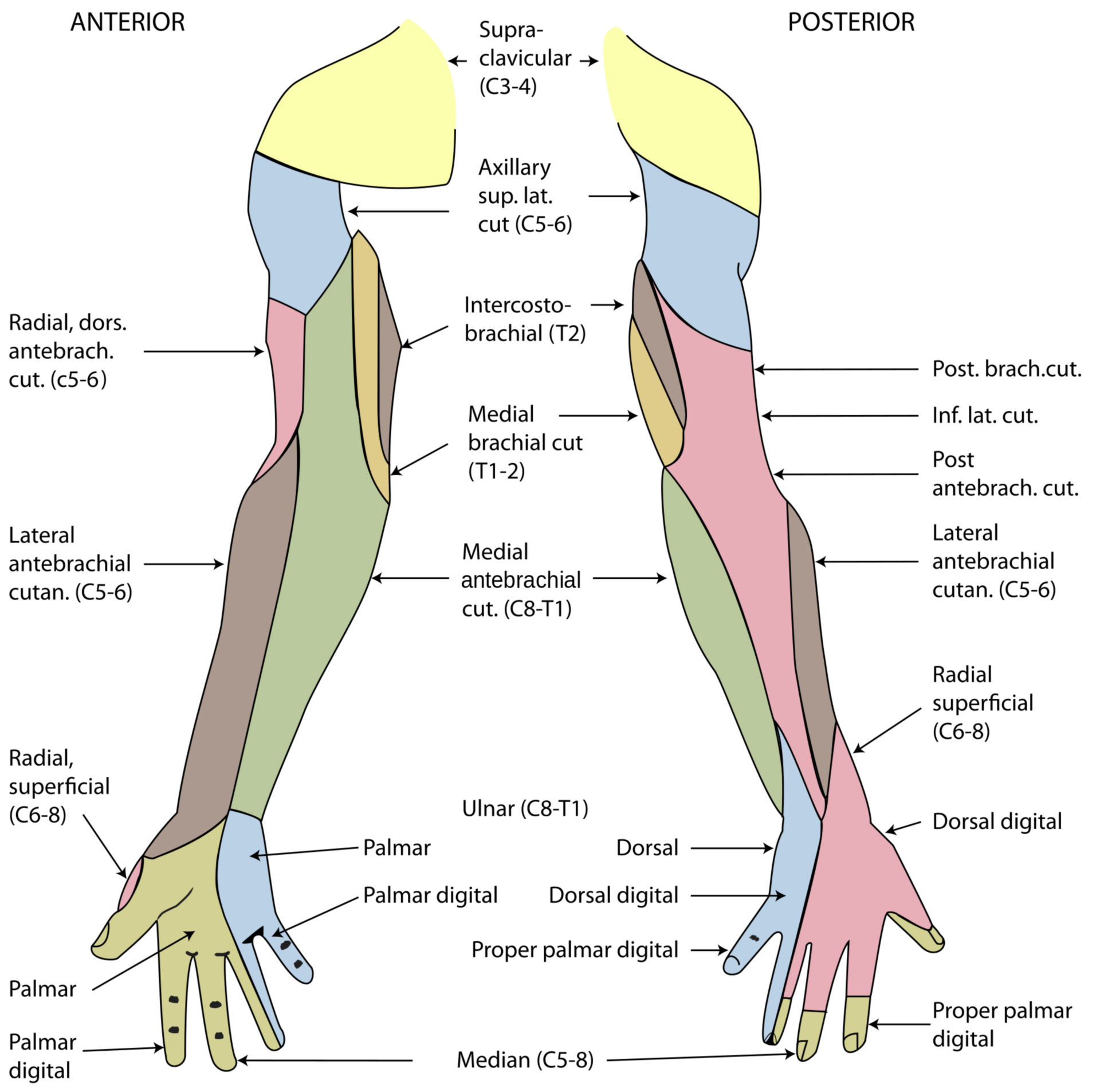 Innervation of the skin on the arm
