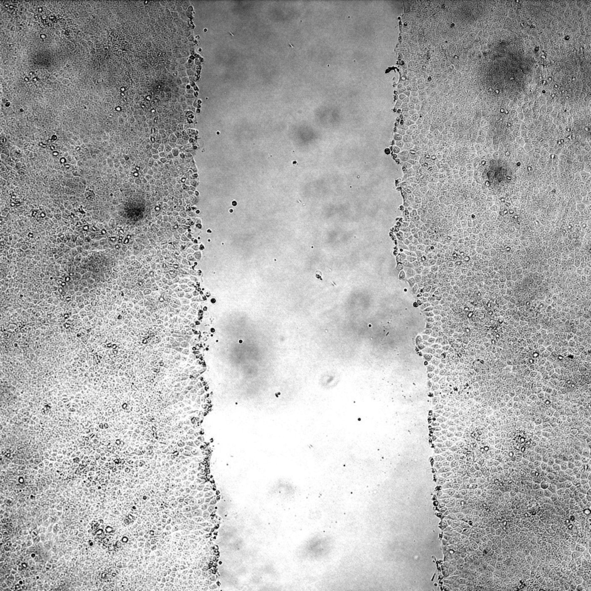 Canis lupus familiaris (Kidney cellule epiteliali) - CIL: 44509