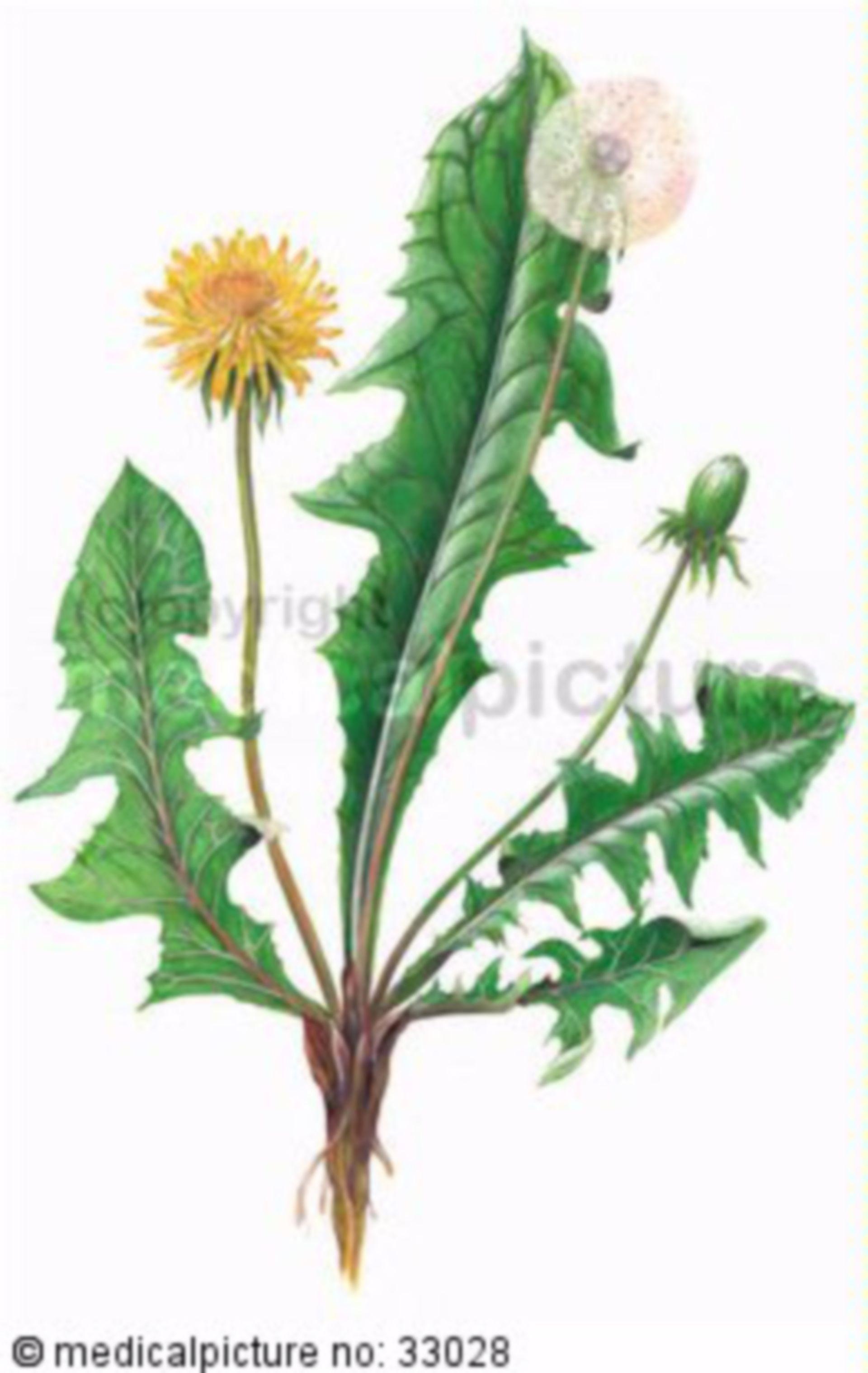 Kräuter, Taraxacum sect. Ruderalia, Gewöhnlicher Löwenzahn