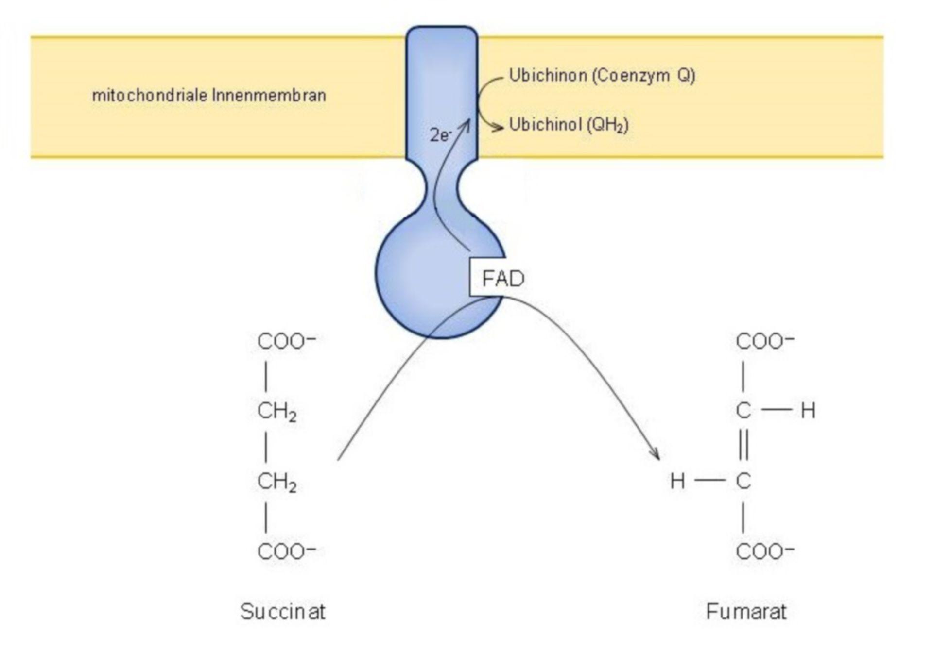 Oxidación a fumarato