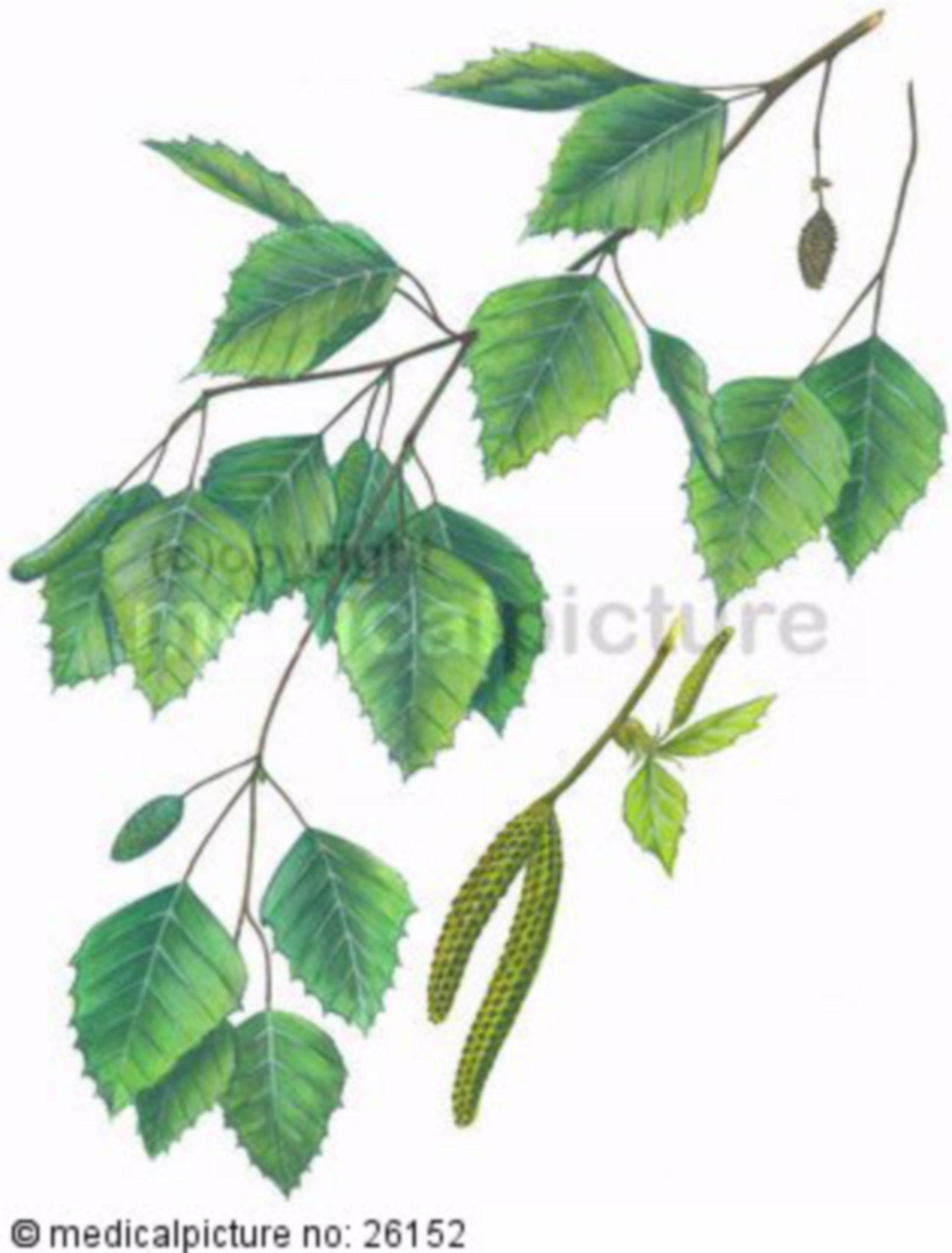 Argento betulla, Betula pendula