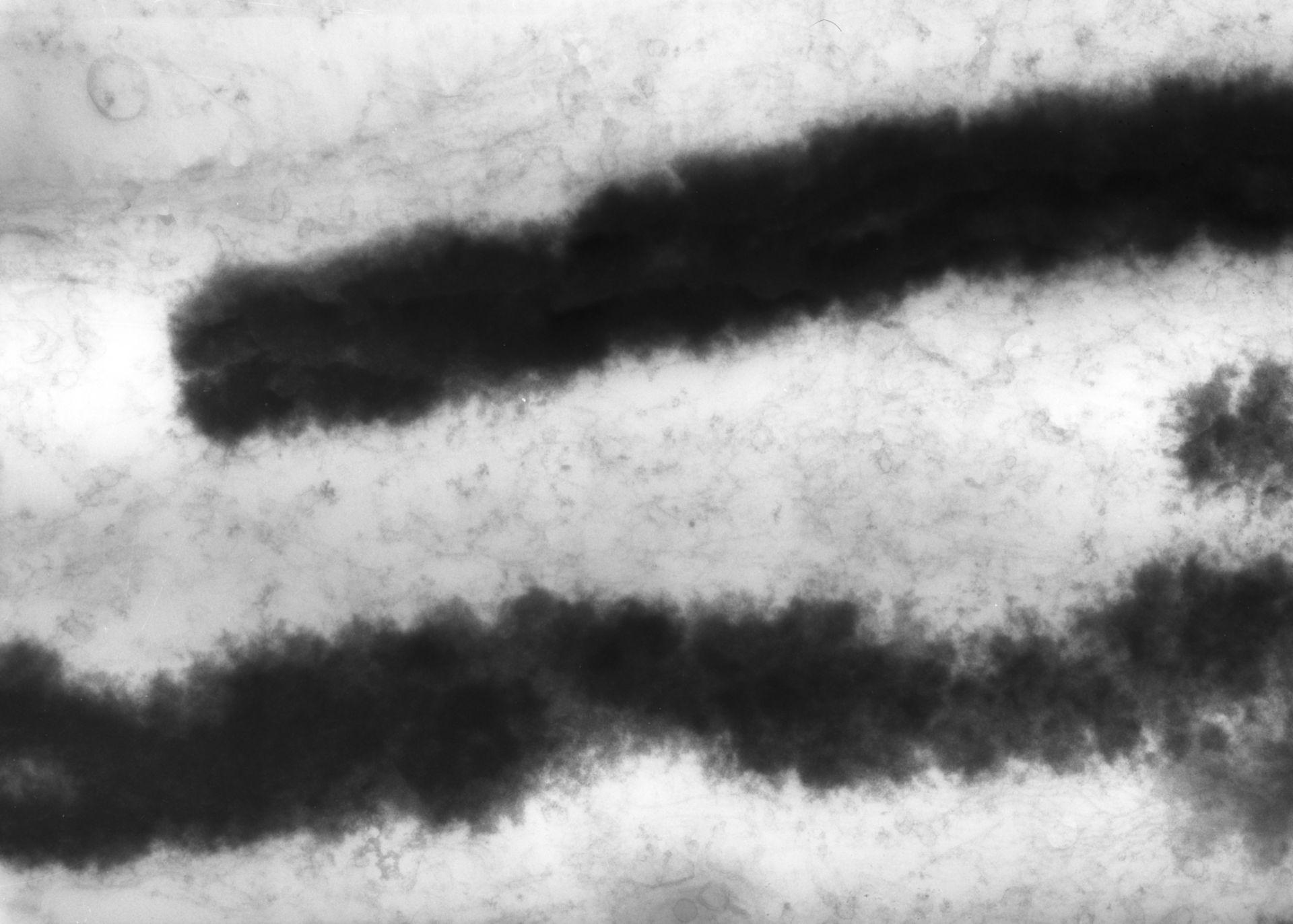 Haemanthus katharinae (Nuclear chromosome) - CIL:11912