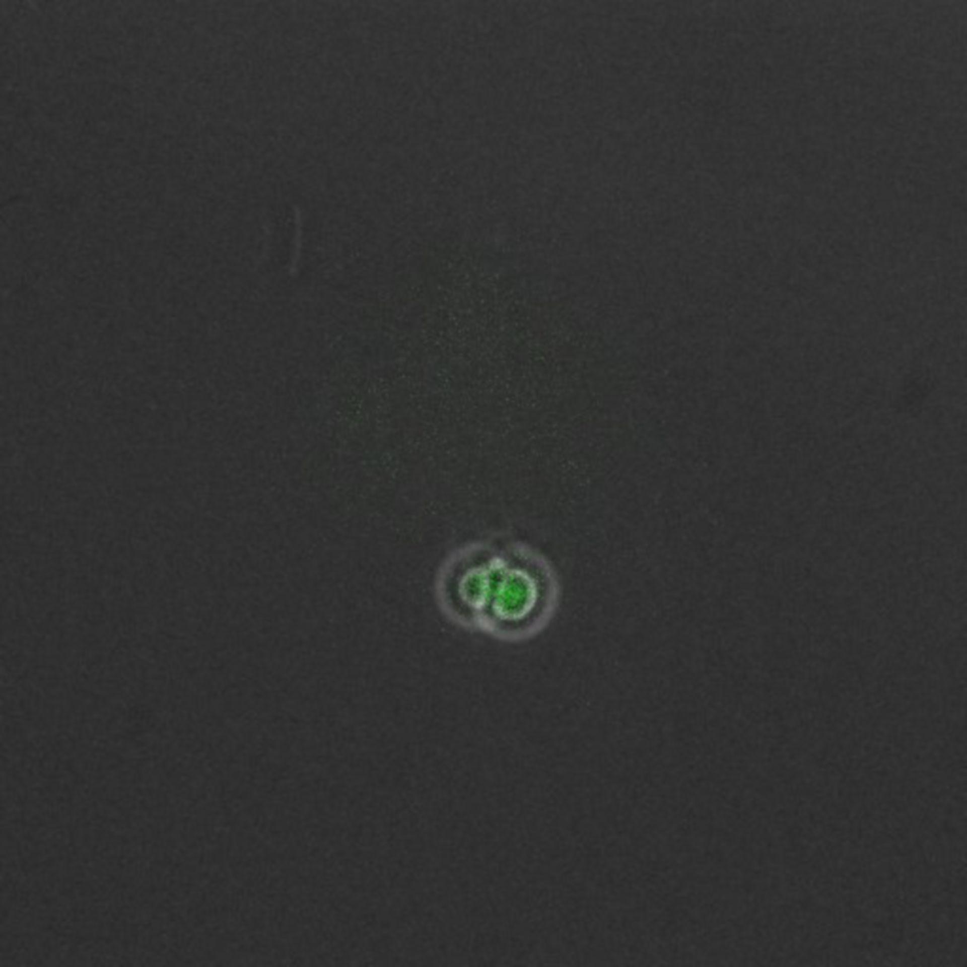 Saccharomyces cerevisiae (complesso preiniziazione replicazione DNA - CIL:35665