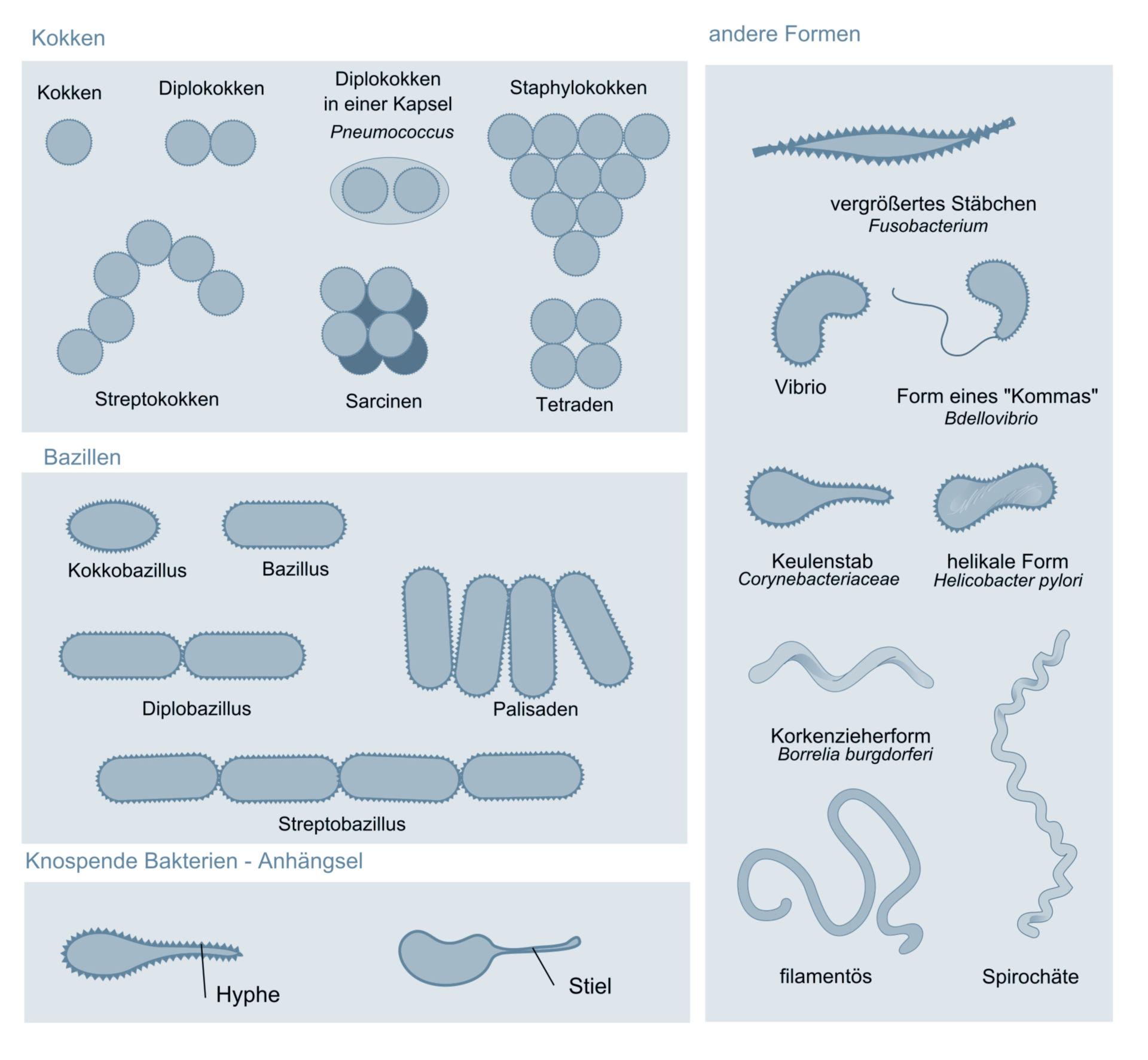 Morphologie verschiedener Bakterien