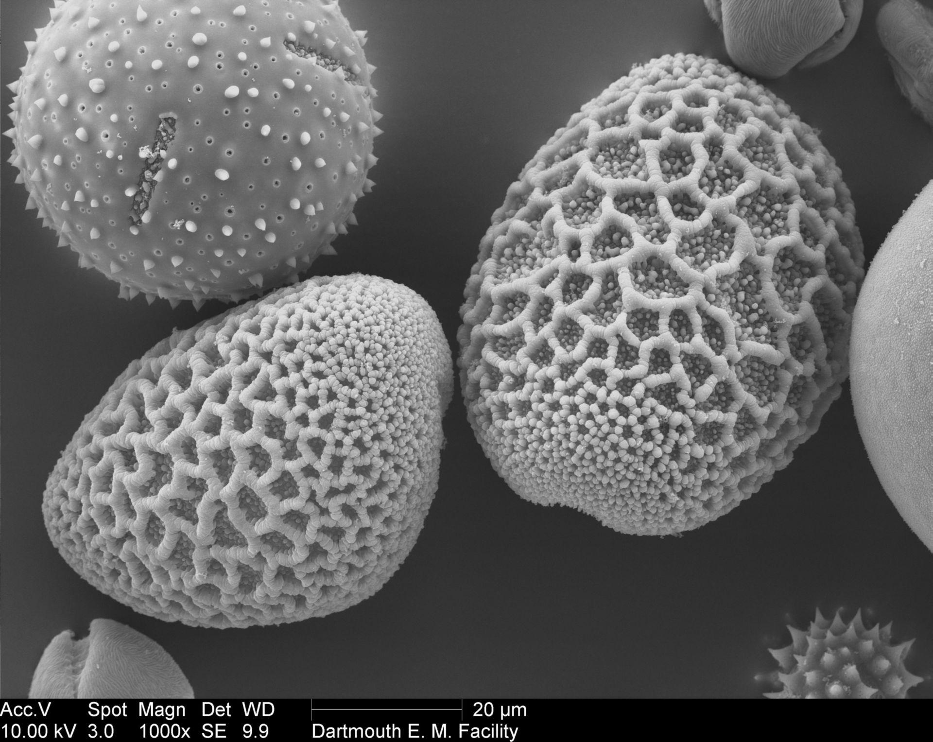 Lilium longiflorum - Pollenwand - CIL:40354