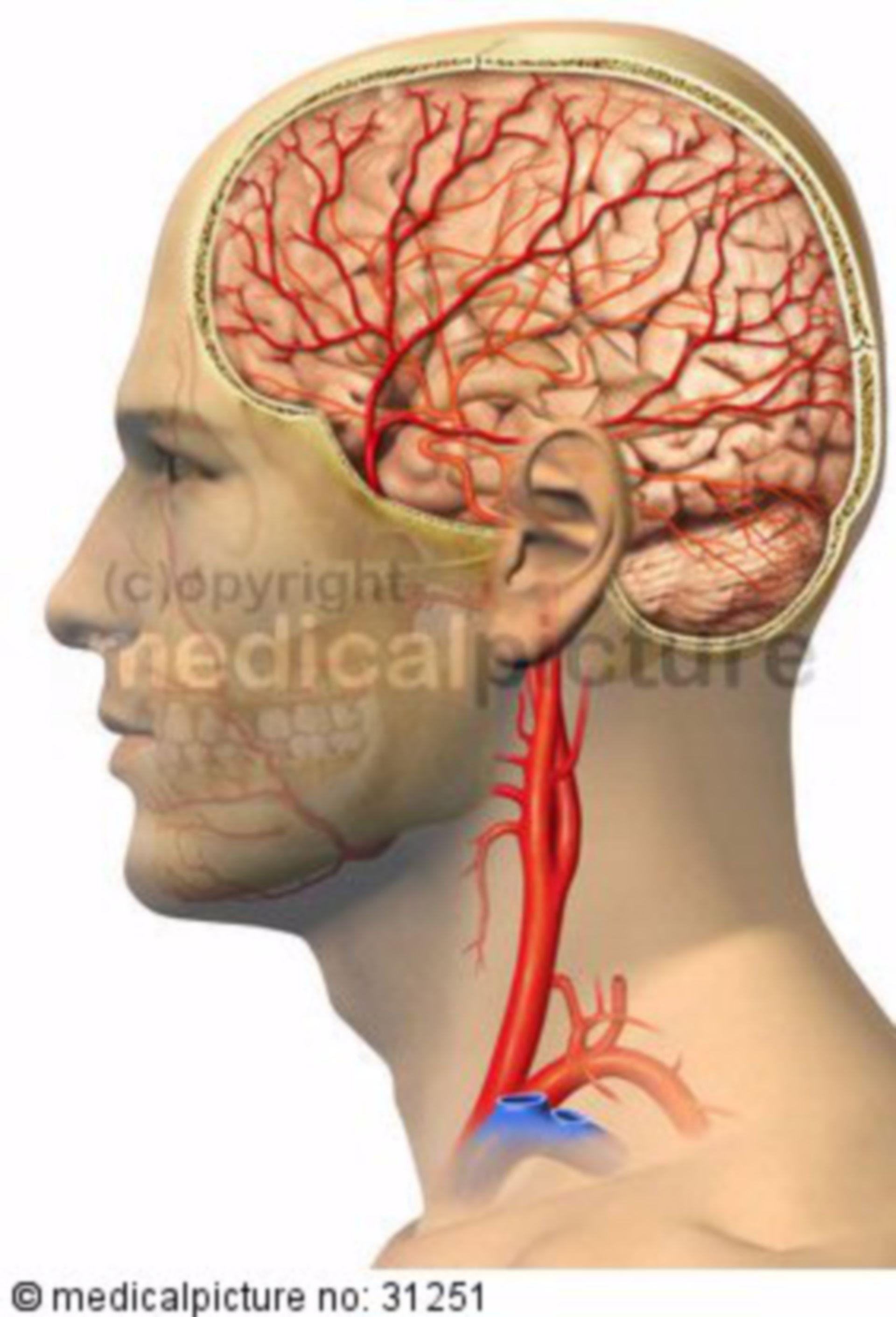 Apporto di sangue della testa
