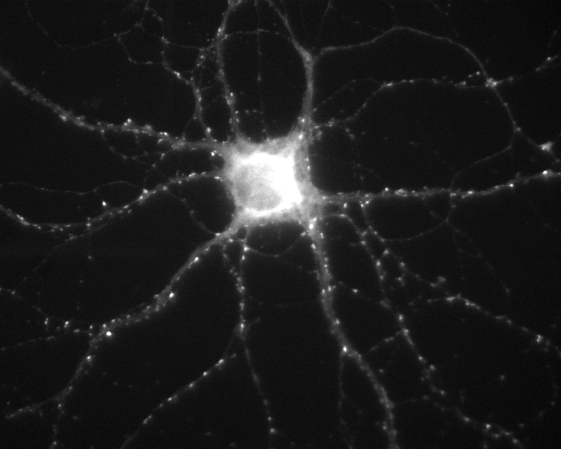 Rattus (Synapse part) - CIL:809