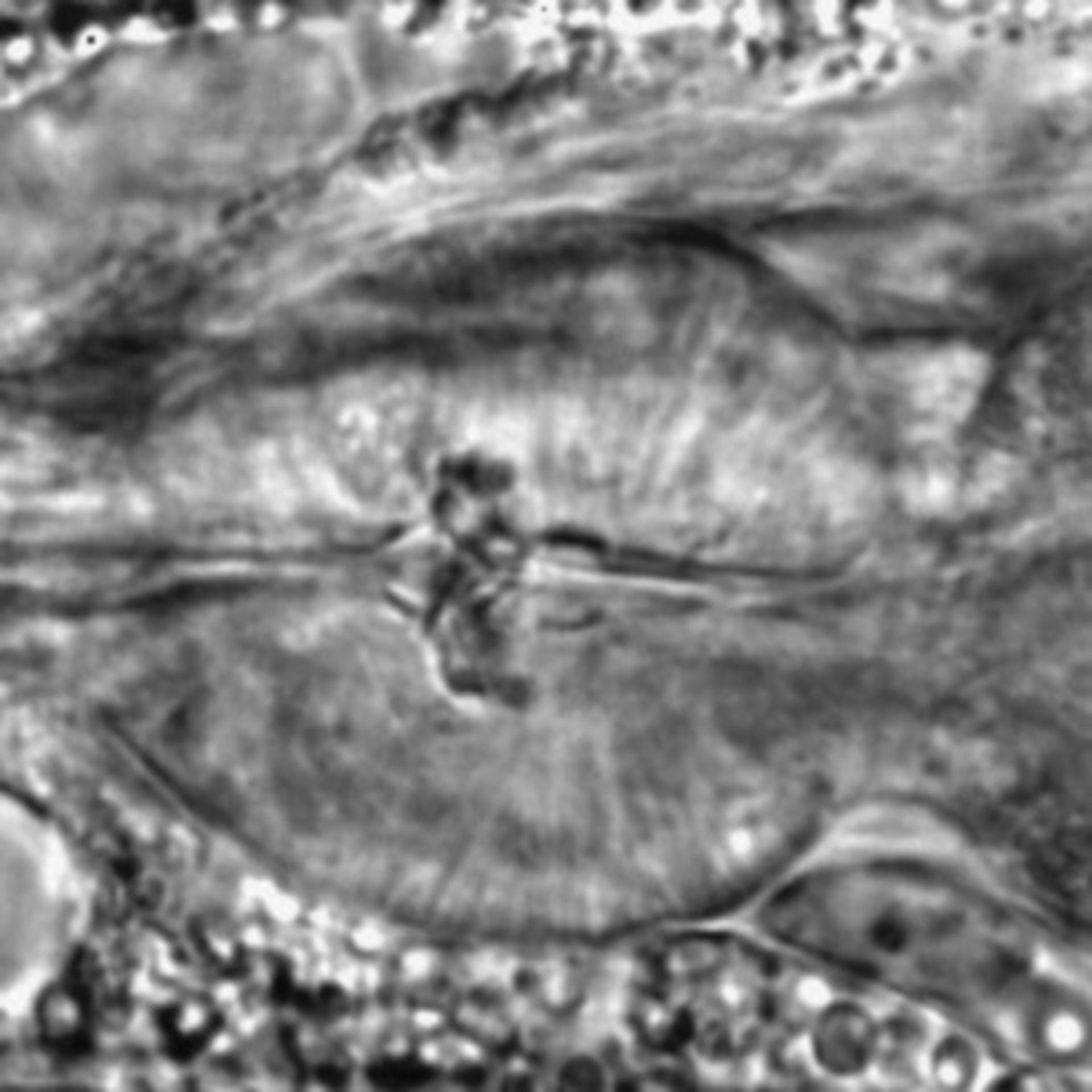 Caenorhabditis elegans - CIL:1731