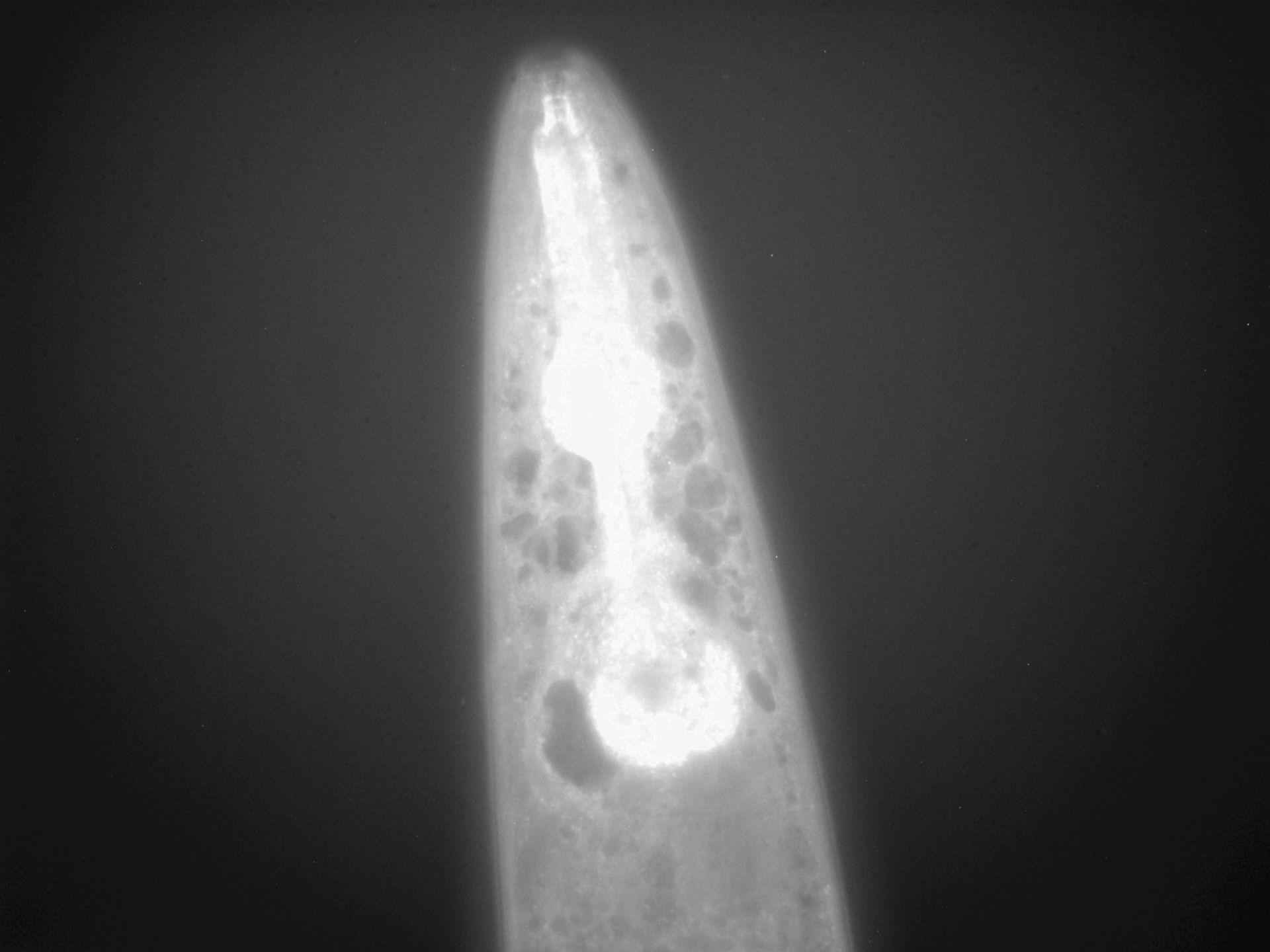 Caenorhabditis elegans (filamento di actina) - CIL:1275