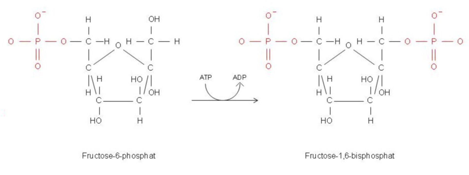 La fosforilazione del fruttosio-6-fosfato a fruttosio-1,6-bisfosfato
