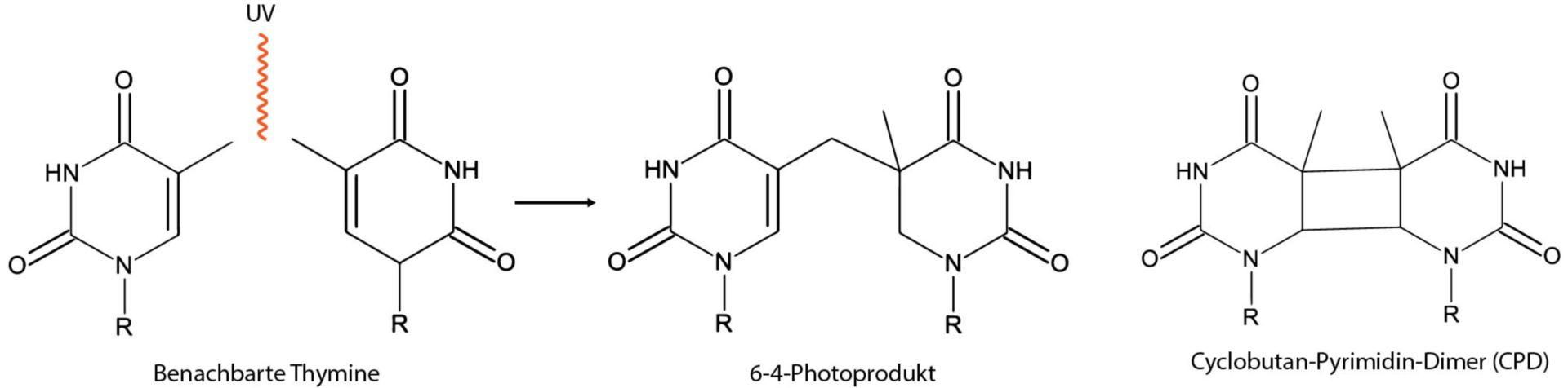 Entstehung von Pyrimidin-Dimeren