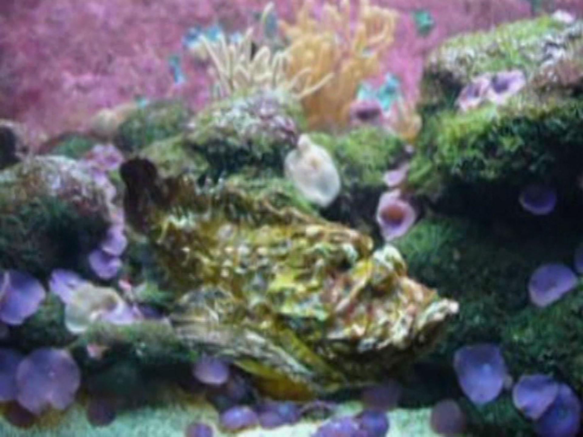 Synanceiidae