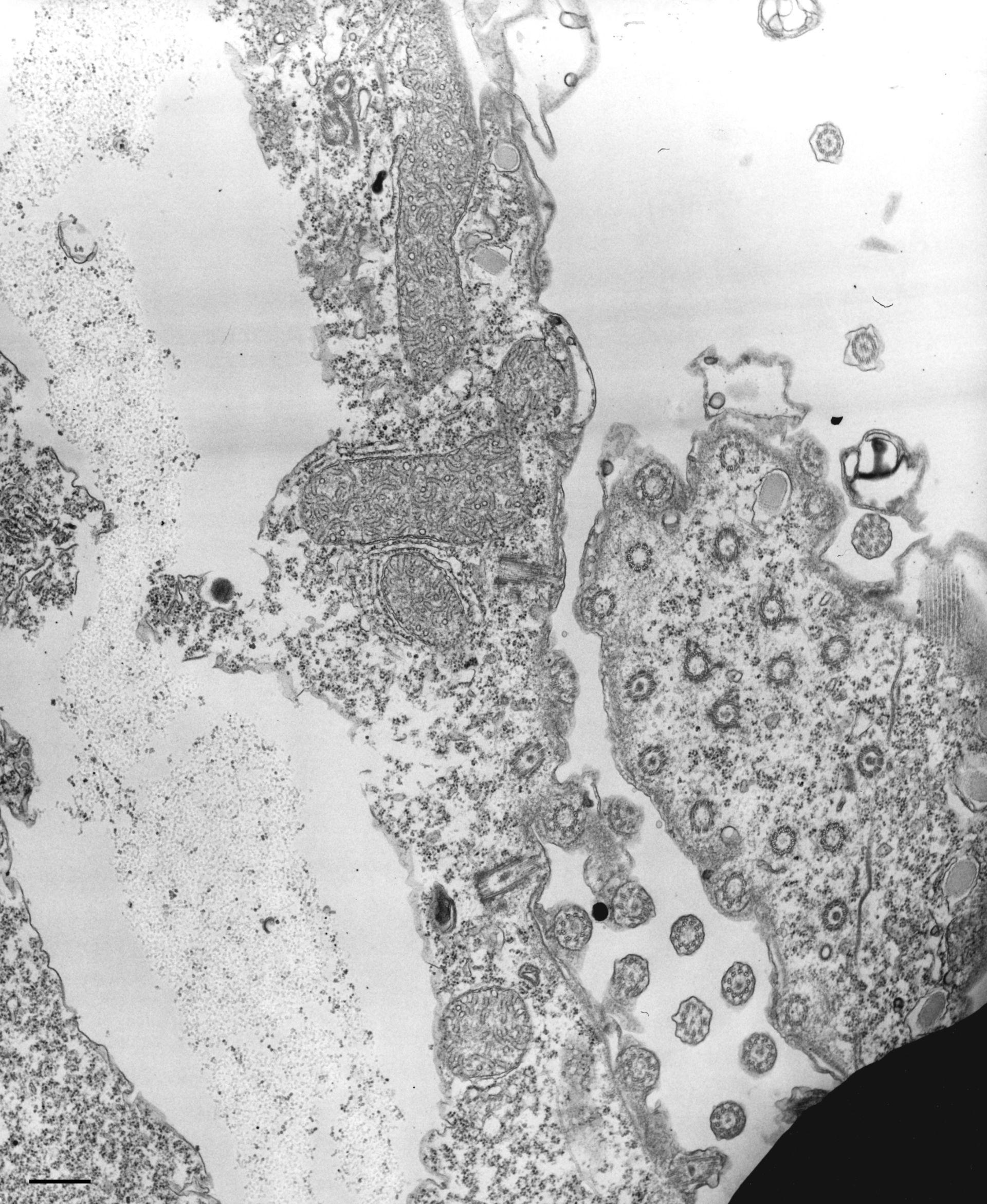 Tetrahymena pyriformis (sito di divisione cellulare) - CIL:36243