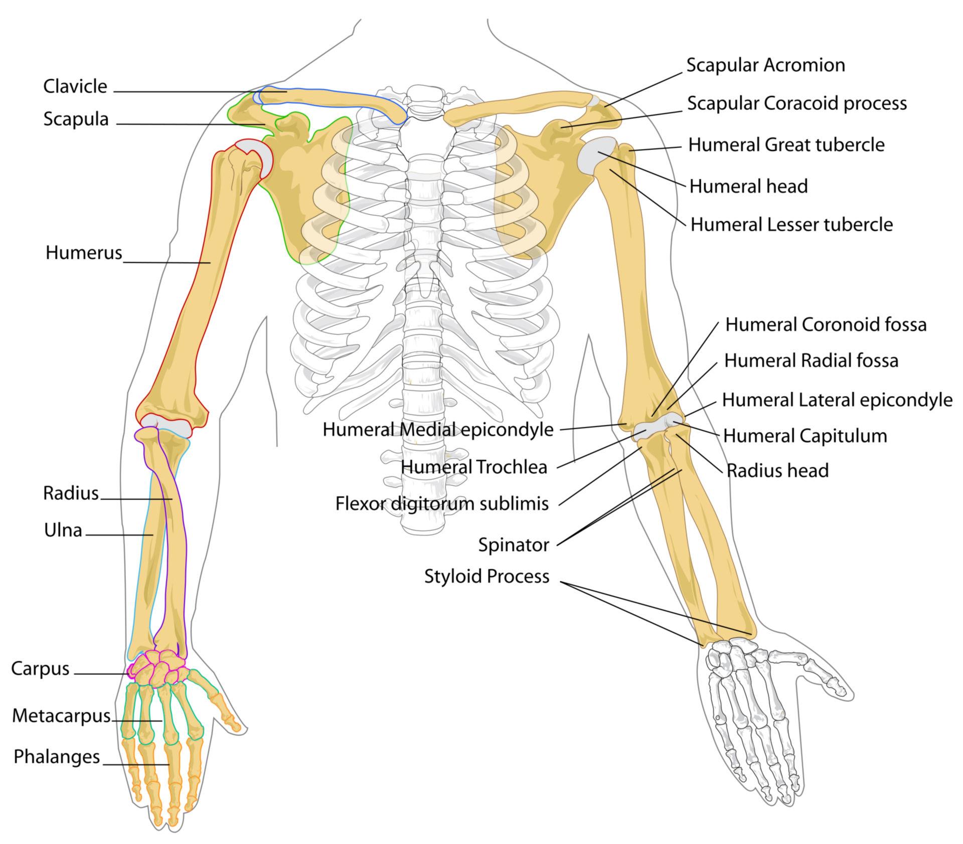 Huesos del brazo (diagrama)