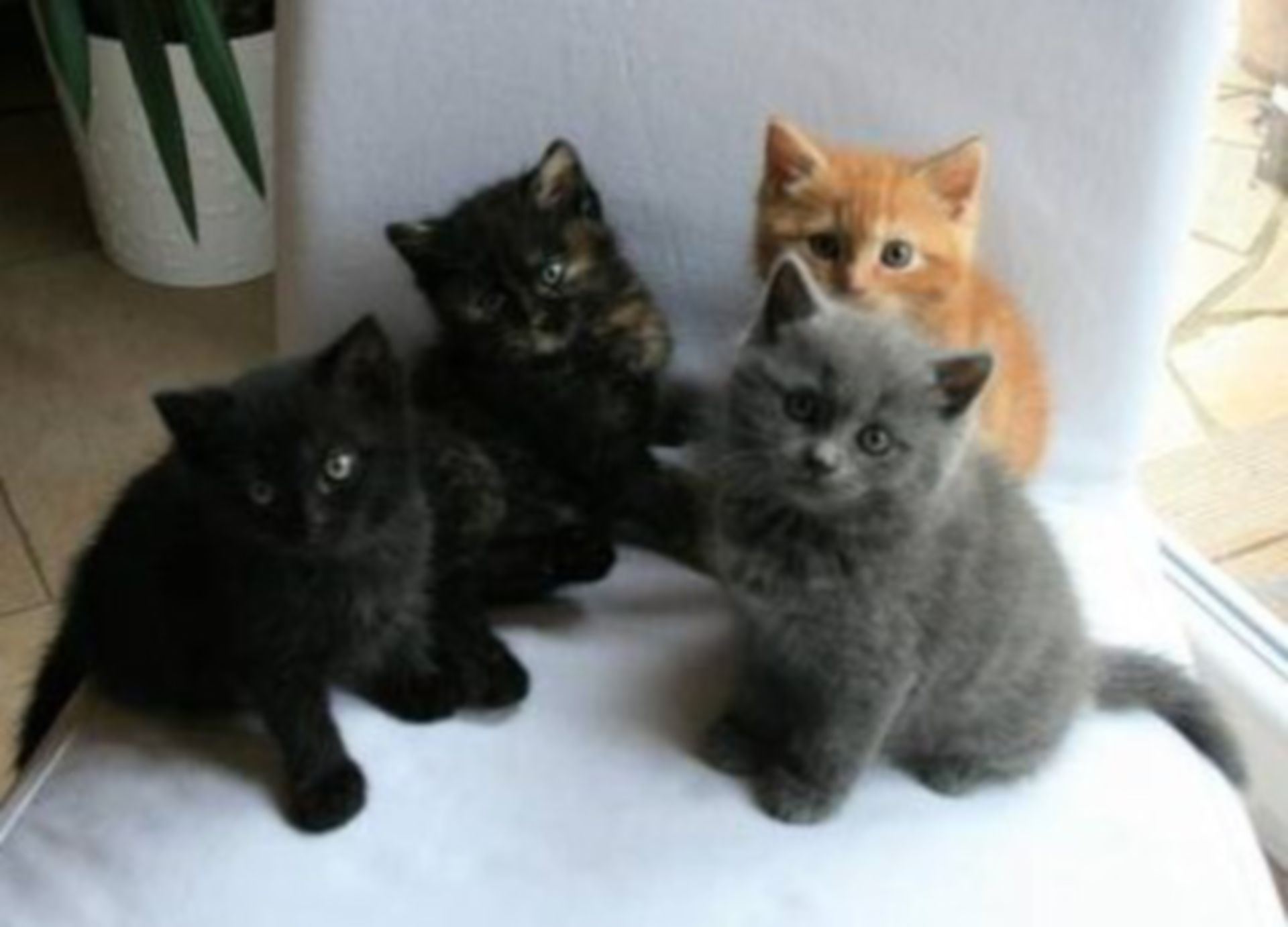Mix of Perse and British Shorthair kittens