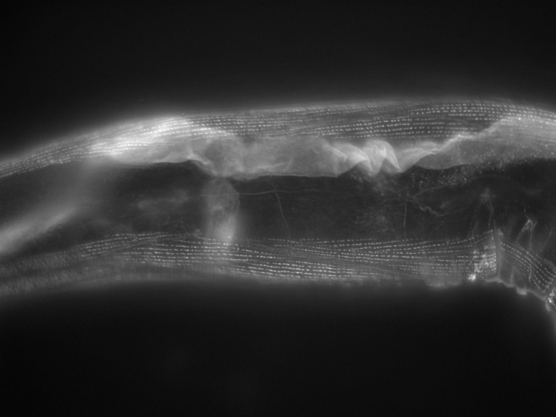 Caenorhabditis elegans (Actin filament) - CIL:1117