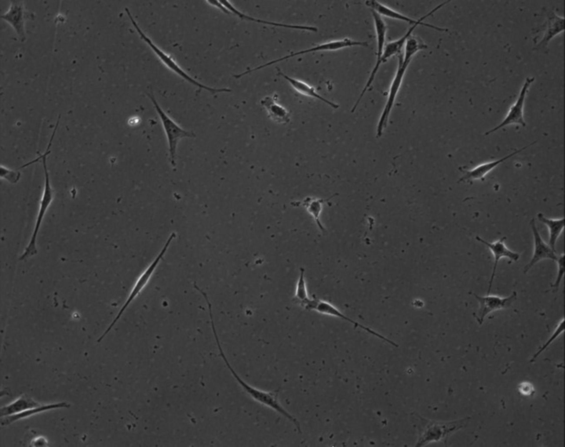 Mus musculus (Extracellular matrix part) - CIL:8920