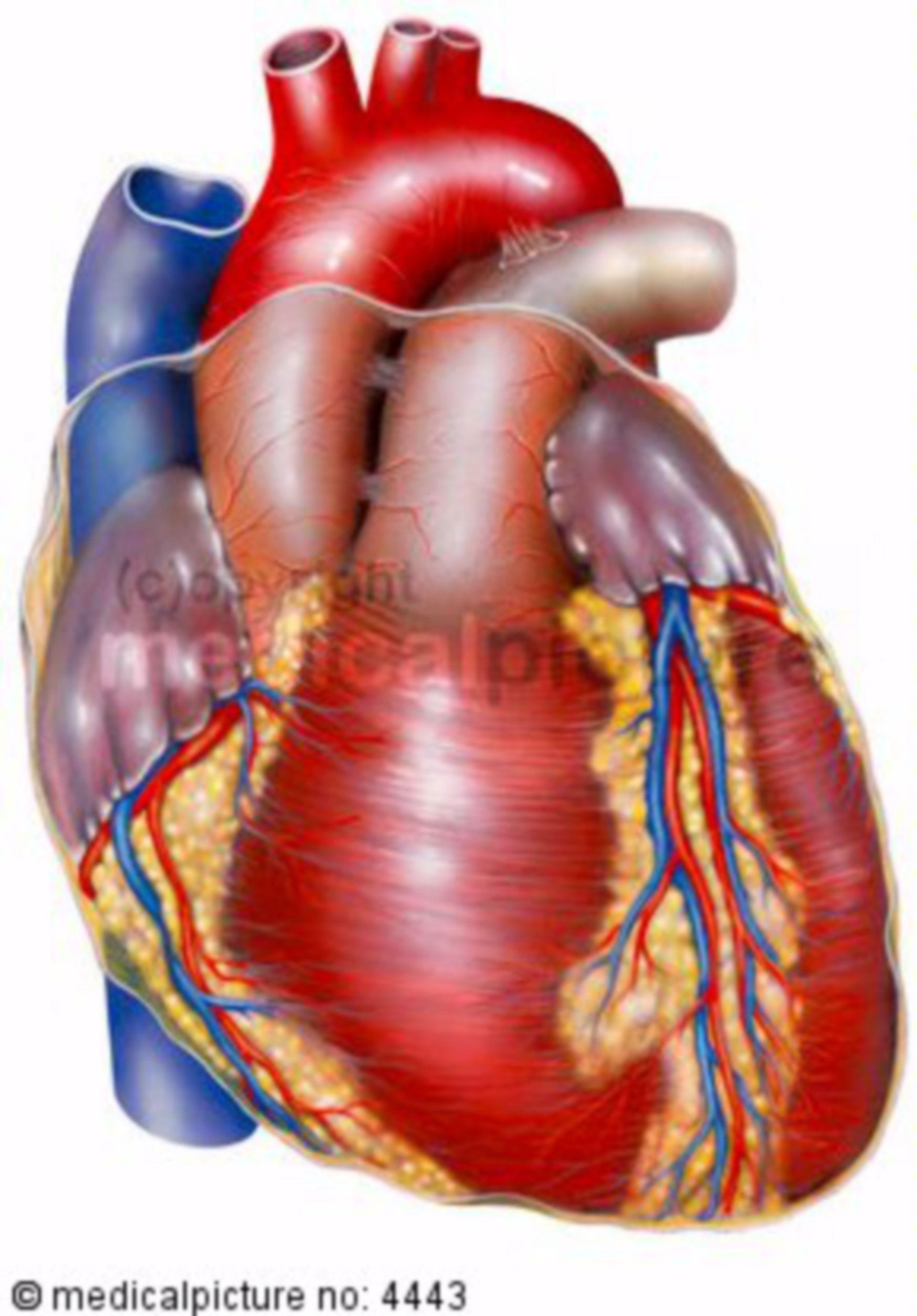 Cuore, modello anatomico