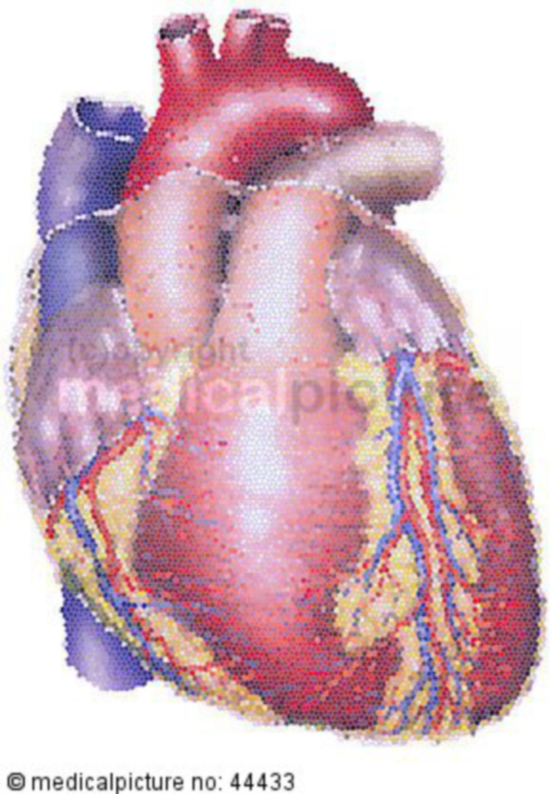 Struktur des Herzens von vorn