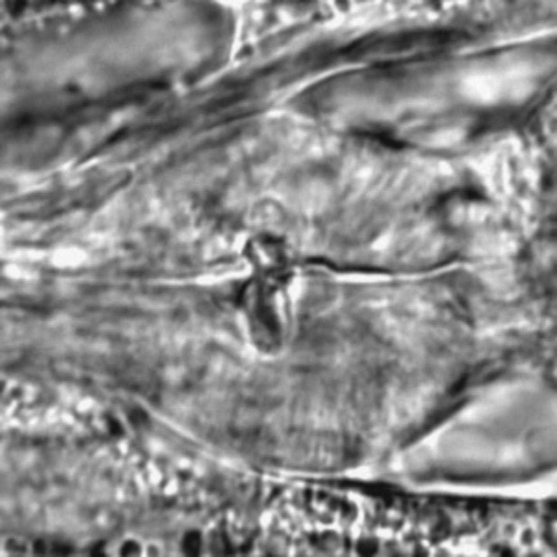 Caenorhabditis elegans - CIL:1785