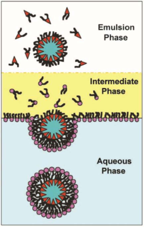 Asymmetric Liposomes