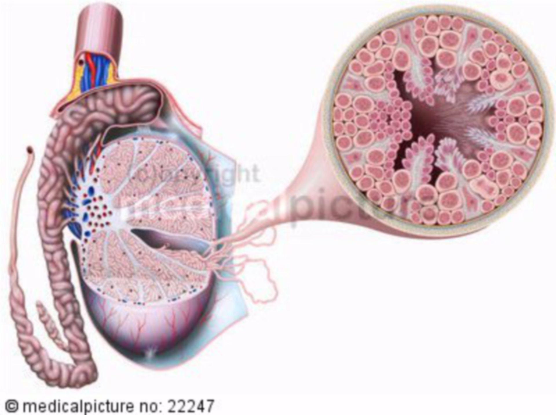 Testicle and seminiferous tubules
