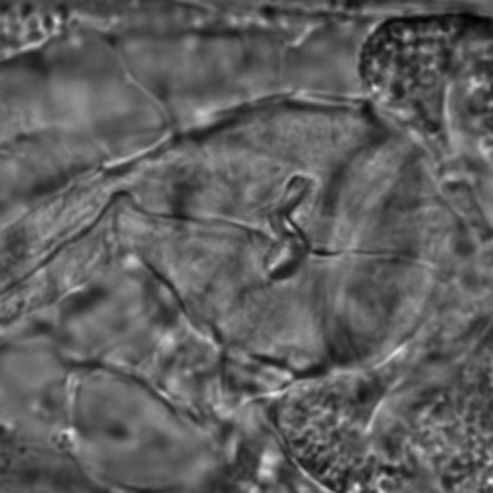 Caenorhabditis elegans - CIL:1642