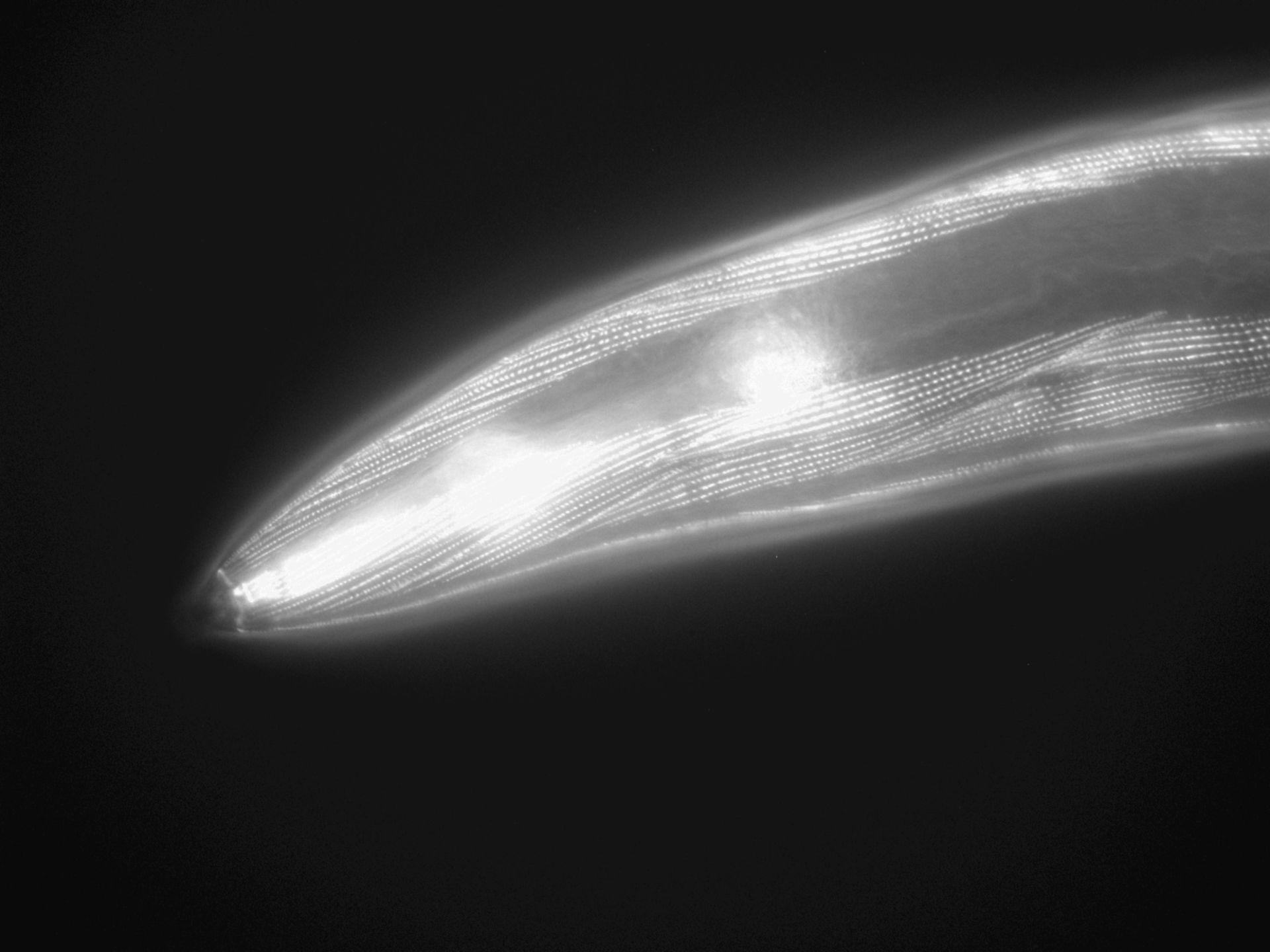 Caenorhabditis elegans (Actin filament) - CIL:1055