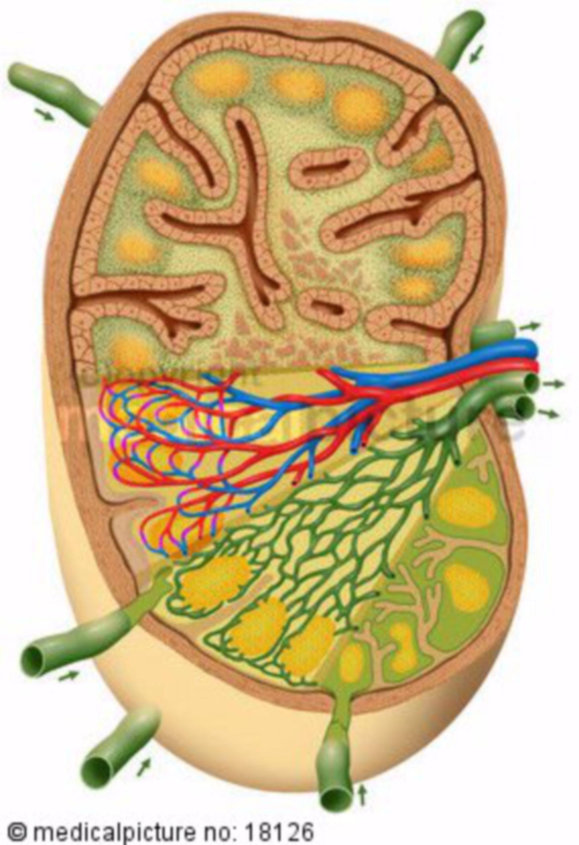 Sezione del linfonodo