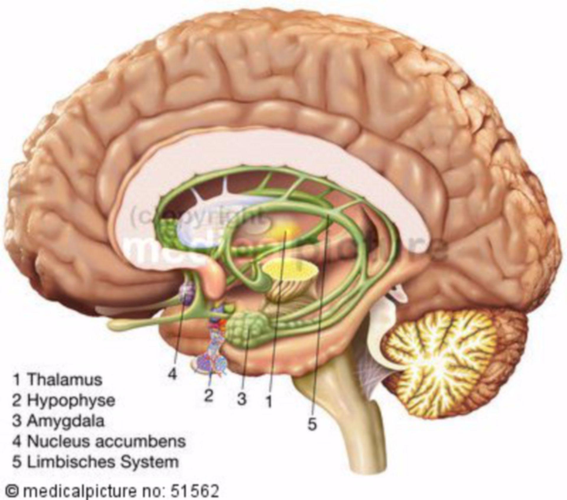 Rechte Gehirn-Hemisphäre