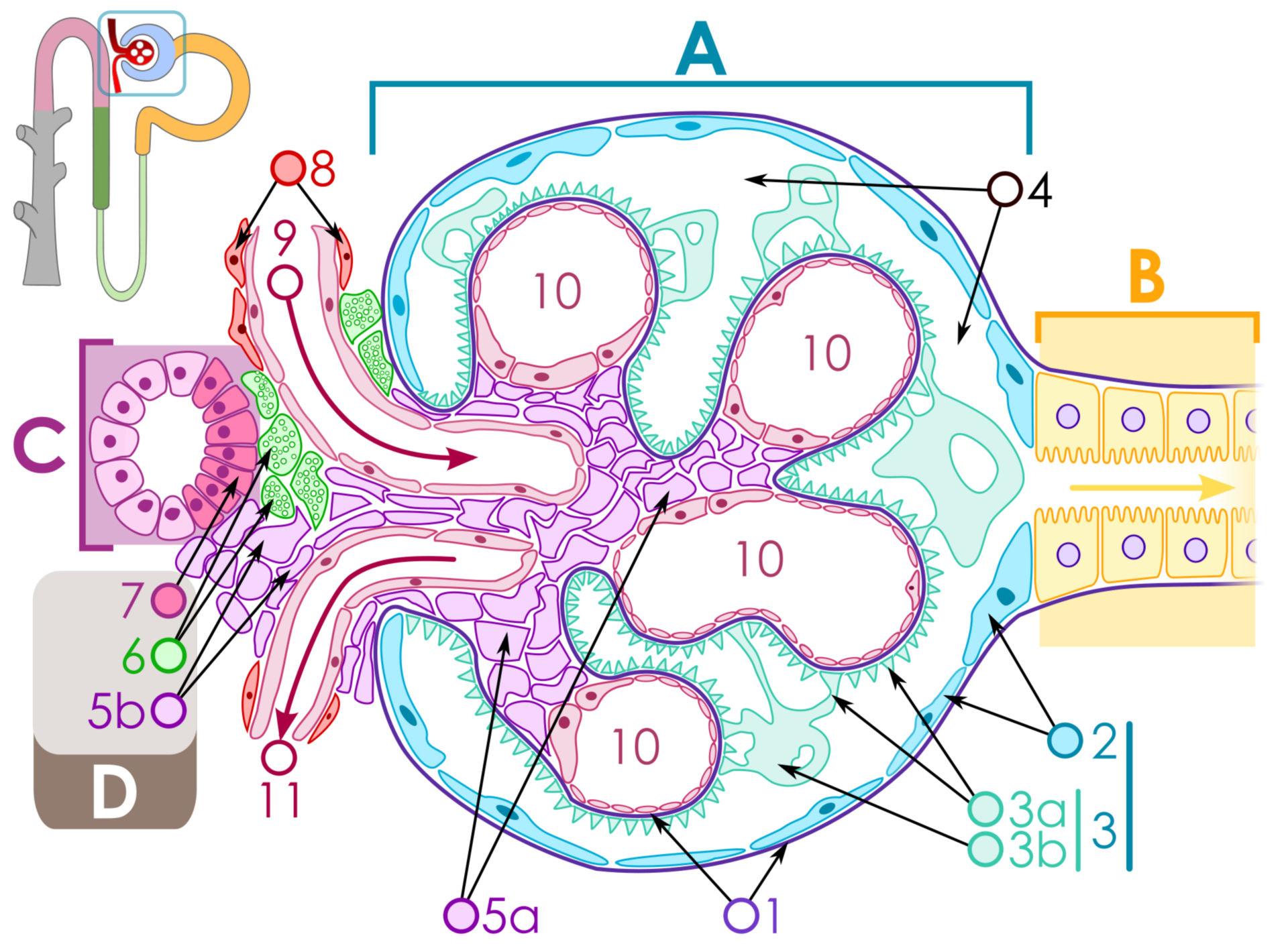 Structure of the glomerulus (scheme)