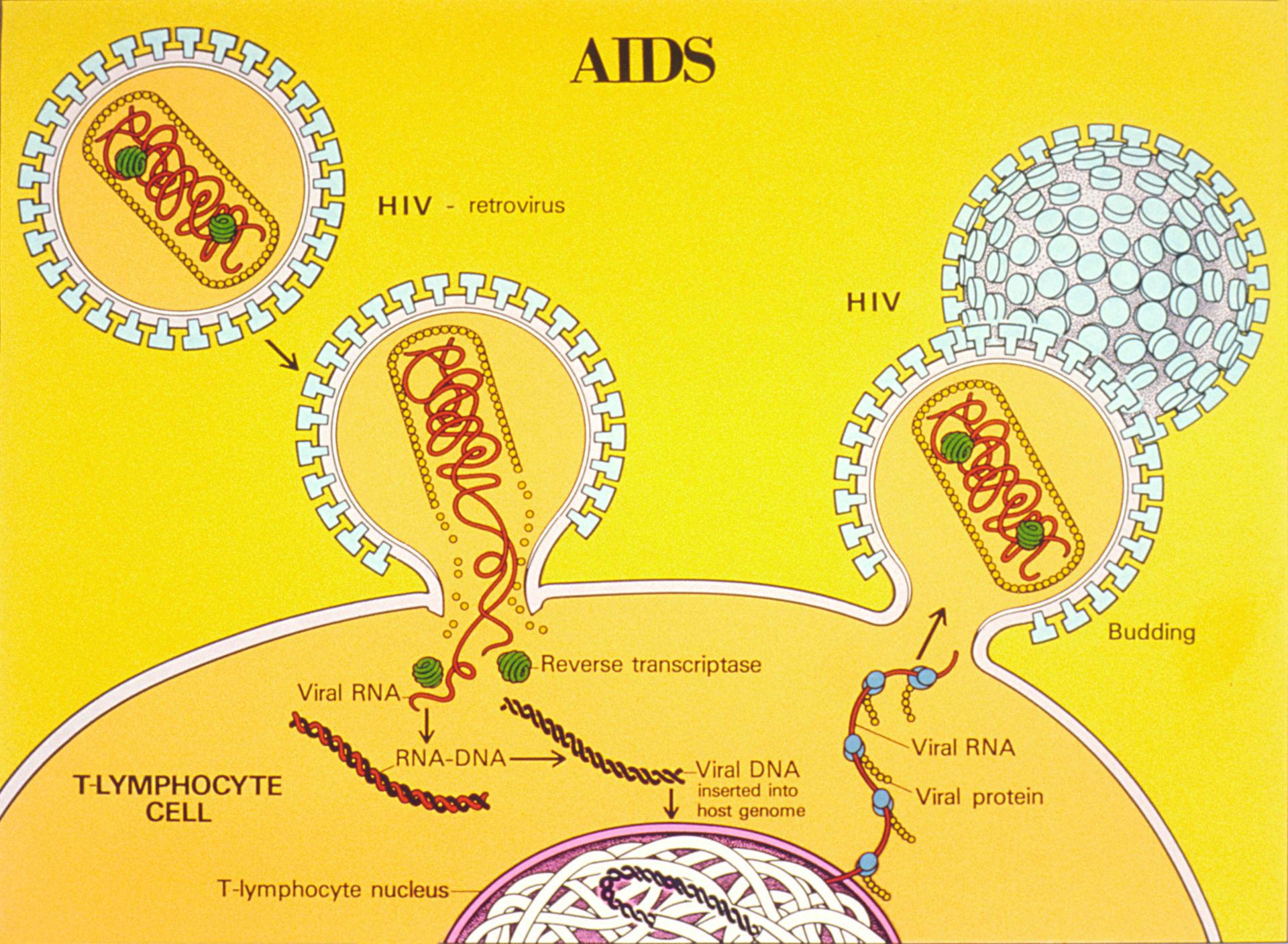 Lebenszyklus des HI-Virus (Schema)