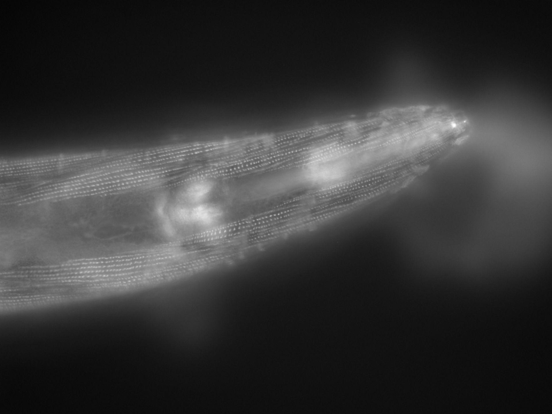 Caenorhabditis elegans (filamento di actina) - CIL:1161
