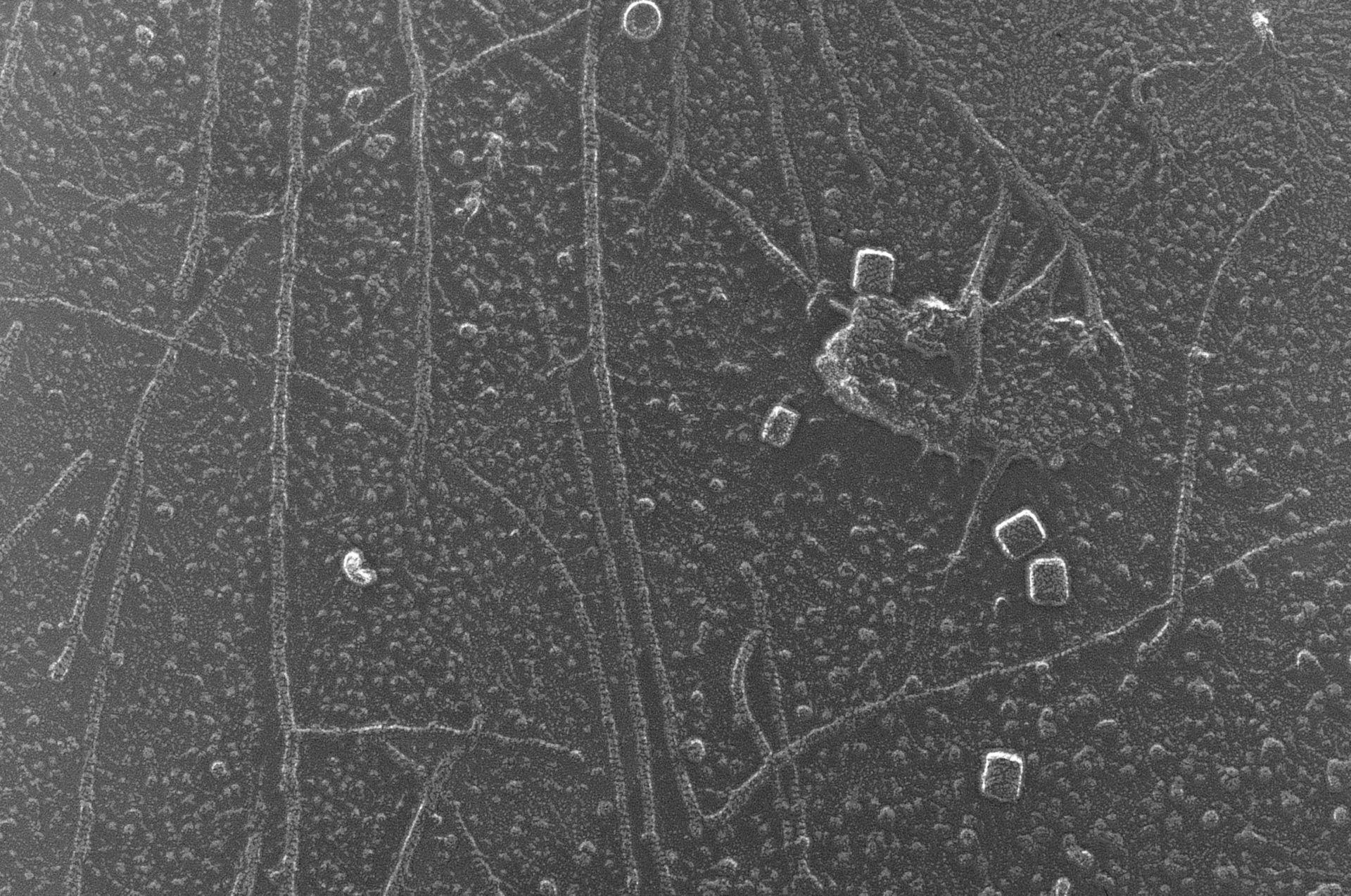 Oryctolagus cuniculus (Cytoskeleton) - CIL:6267