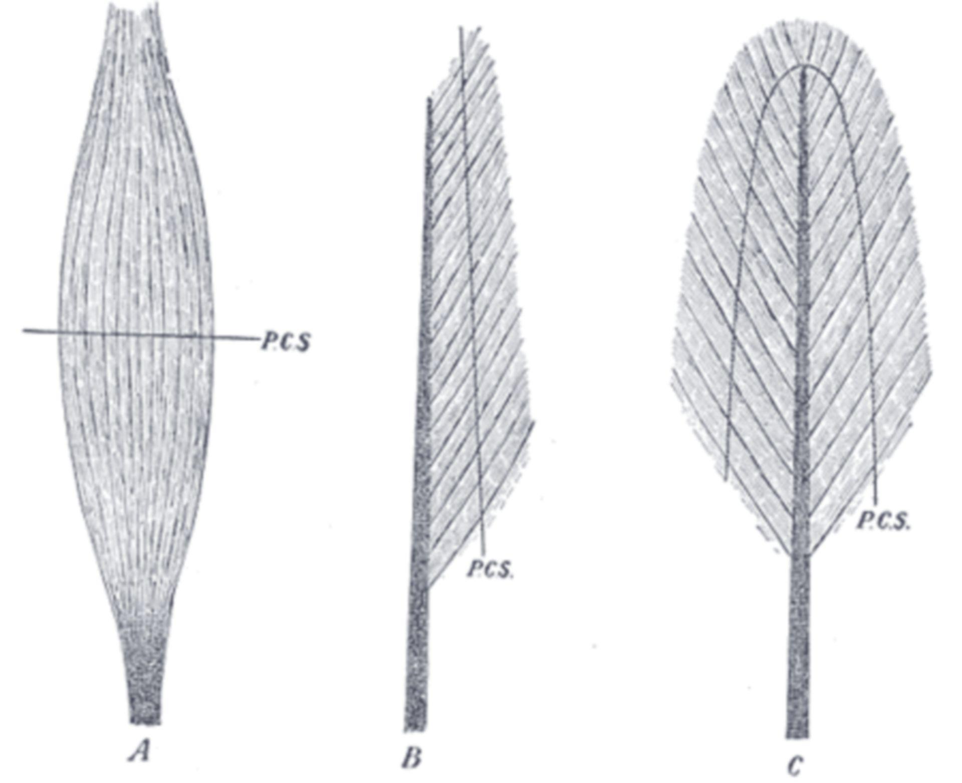 Fig. 365 - Physiologischer Querschnitt von Muskeln