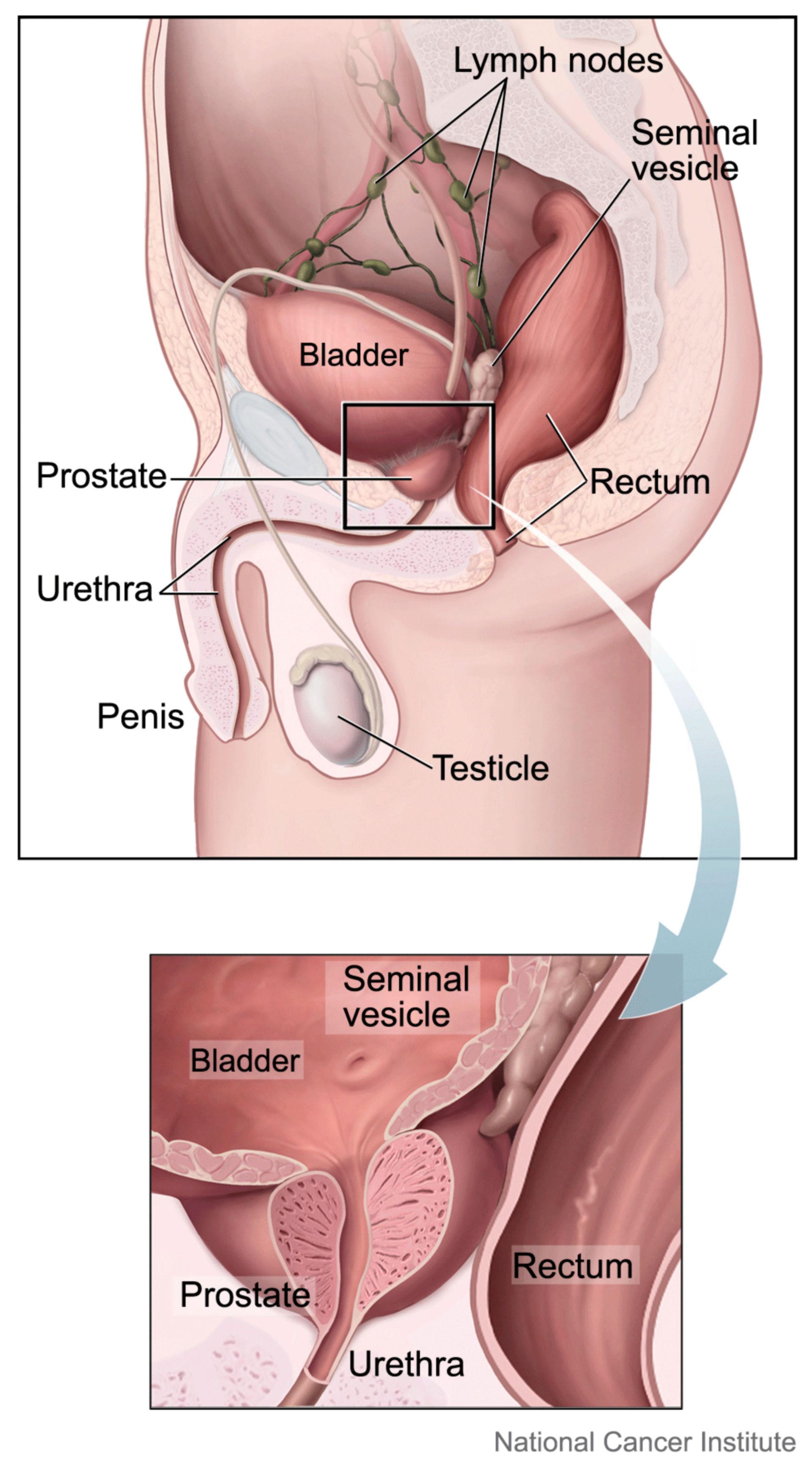 Prostata (illustrazione anatomica)