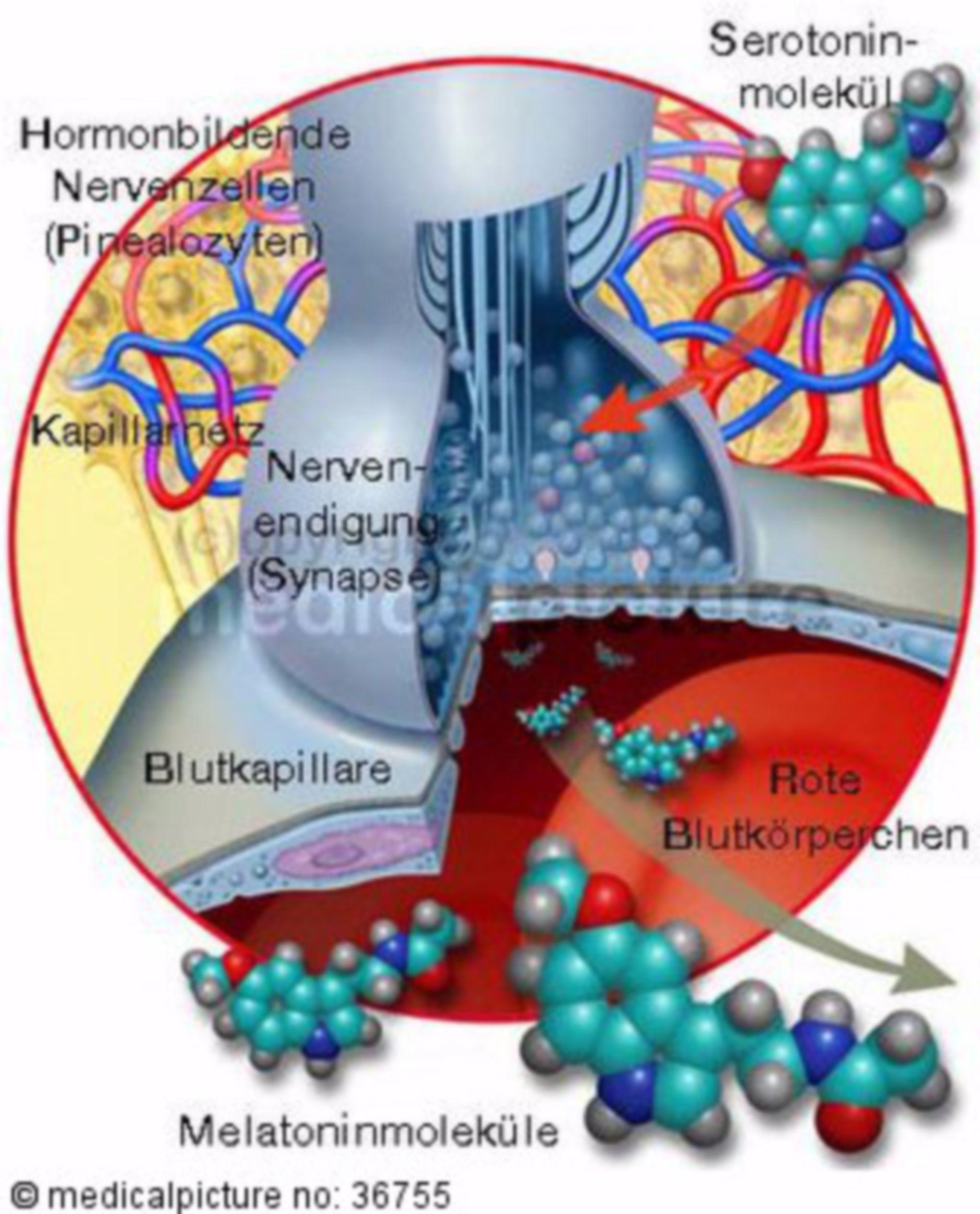 Synapse mit Serotonin und Melatonin