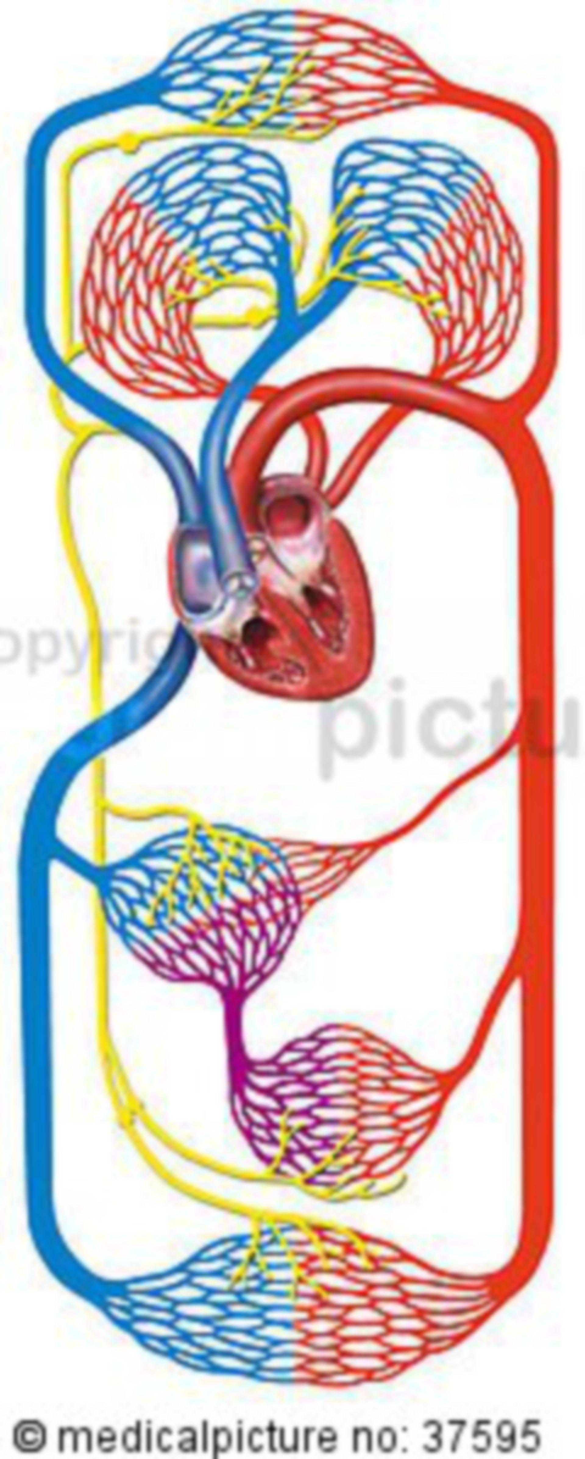 The human blood circulation