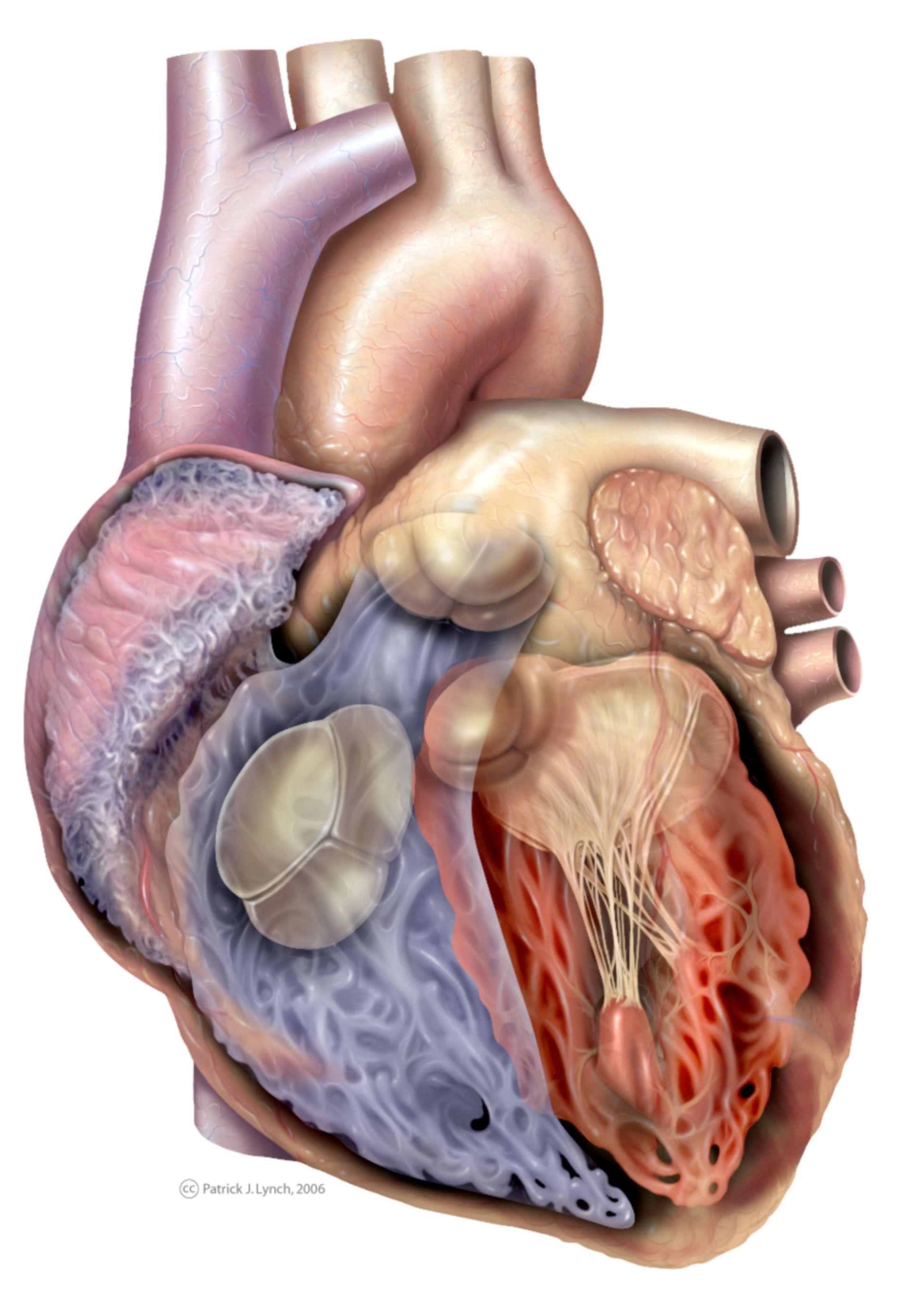 Anatomia del cuore, vista anteriore