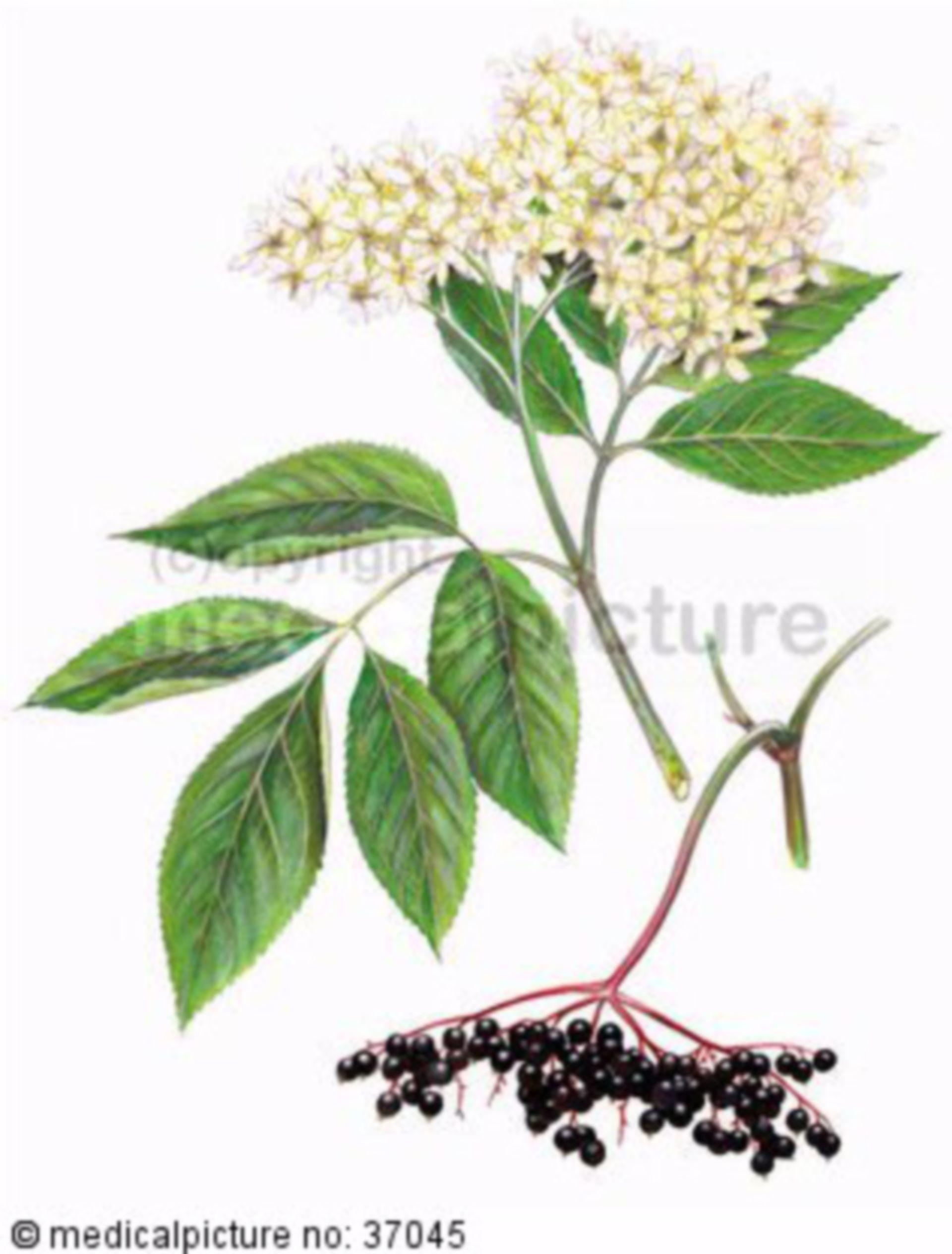 Strauch, Sambucus nigra, Schwarzer Holunder