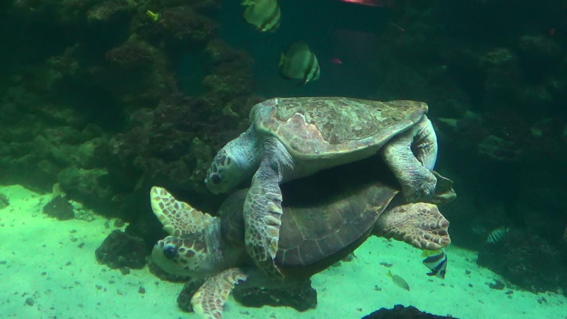 Paarung Carettschildkröte (1)