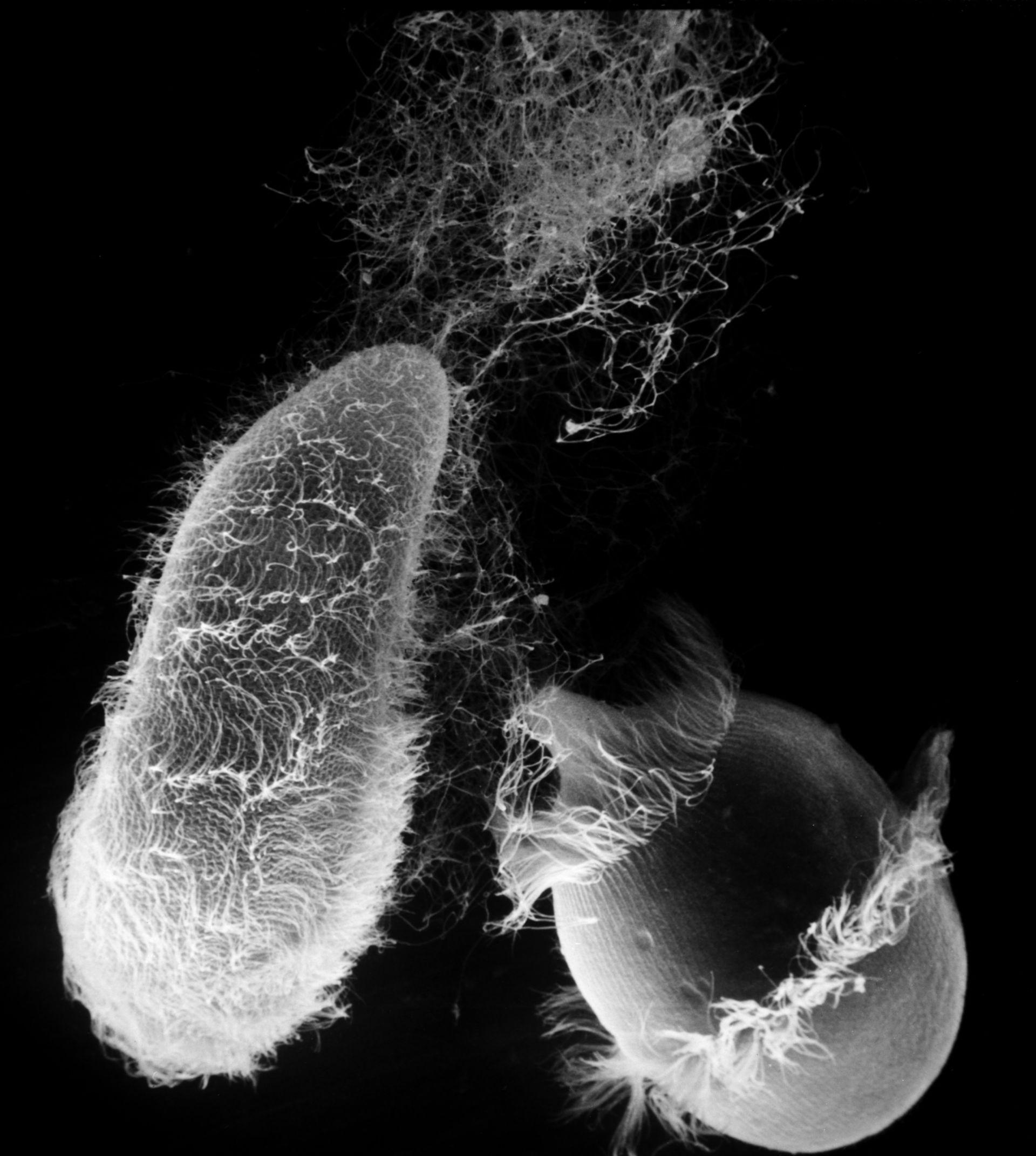 Paramecium sp. (superficie cellula) - CIL:22781