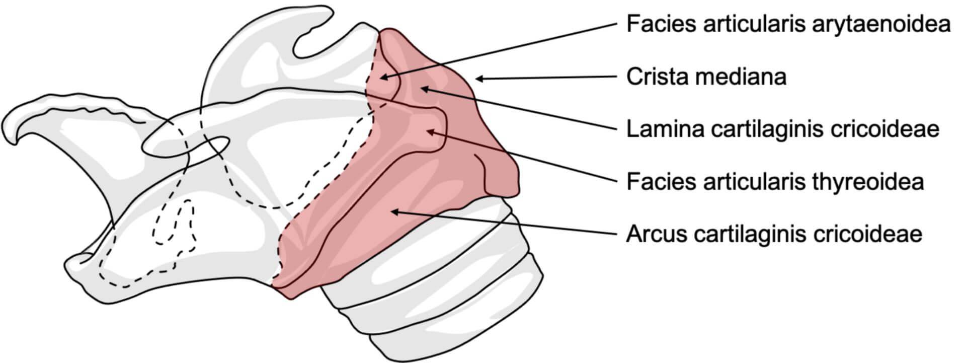 Cartilago cricoidea beim Pferd (© Patrick Messner)